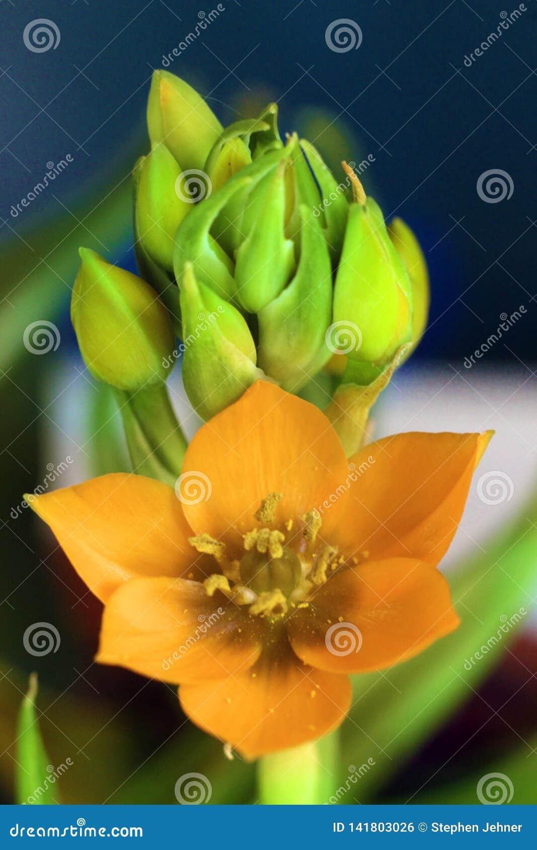 De bloem en de knoppen van de zonster