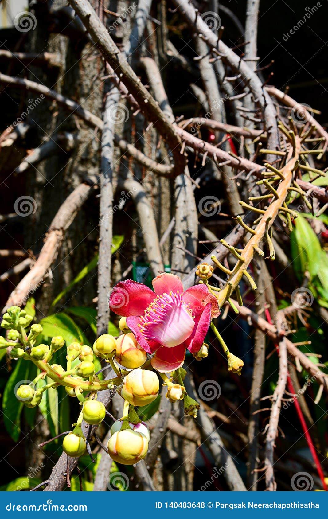De Bloem en de tak van de kanonskogelboom