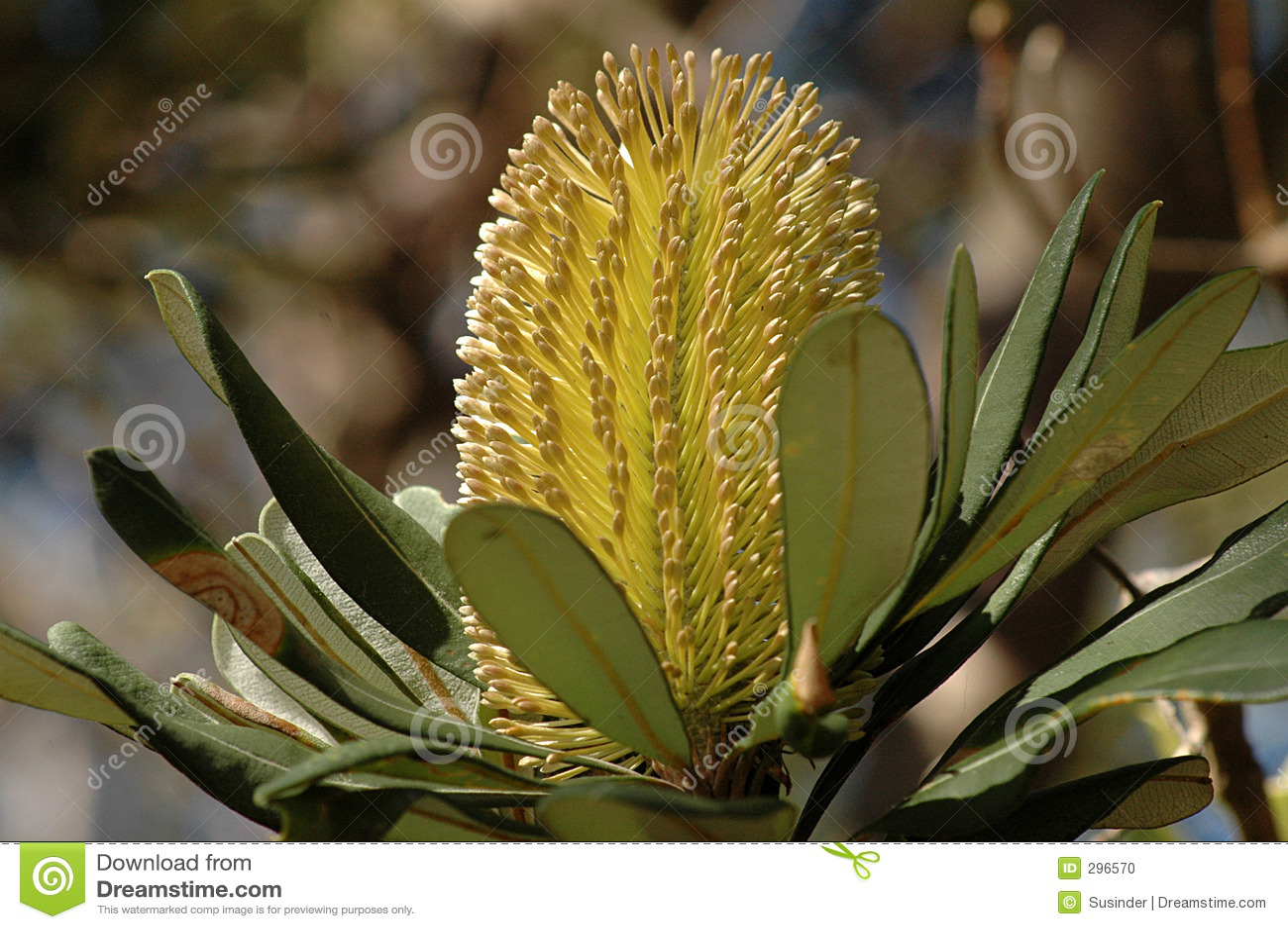 De Bloem van Banksia