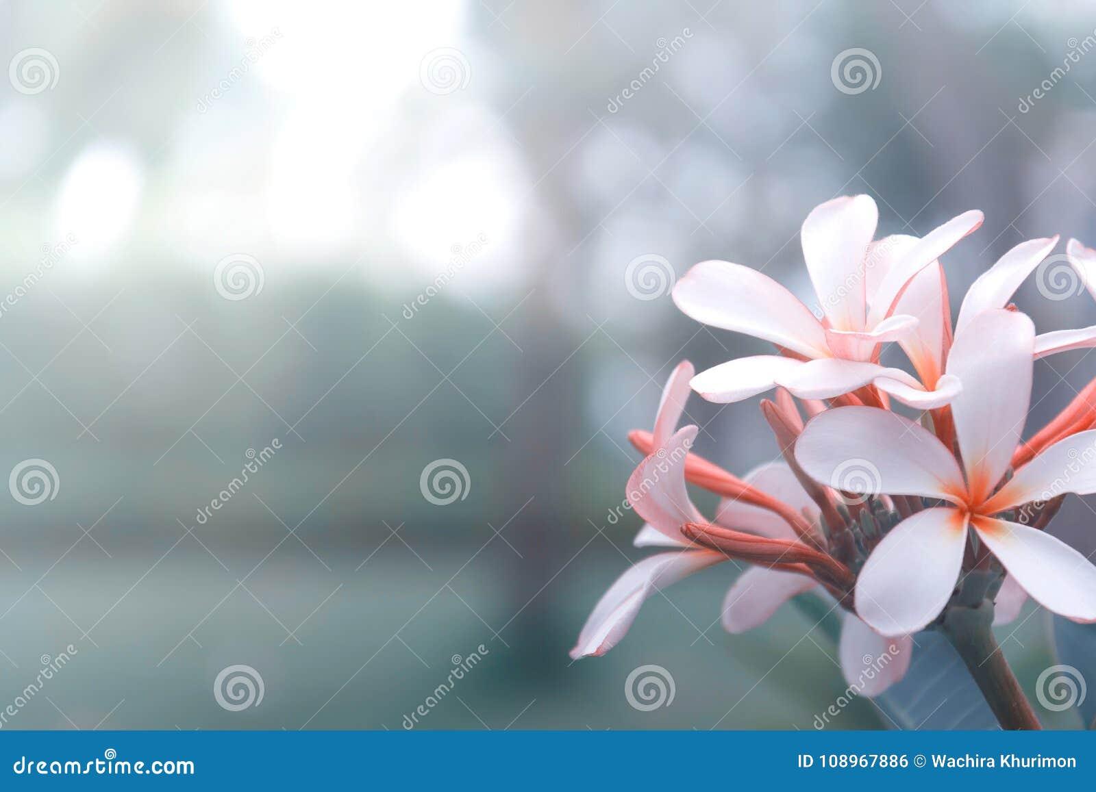 De bloem van Beautyfulplumeria op aardachtergrond