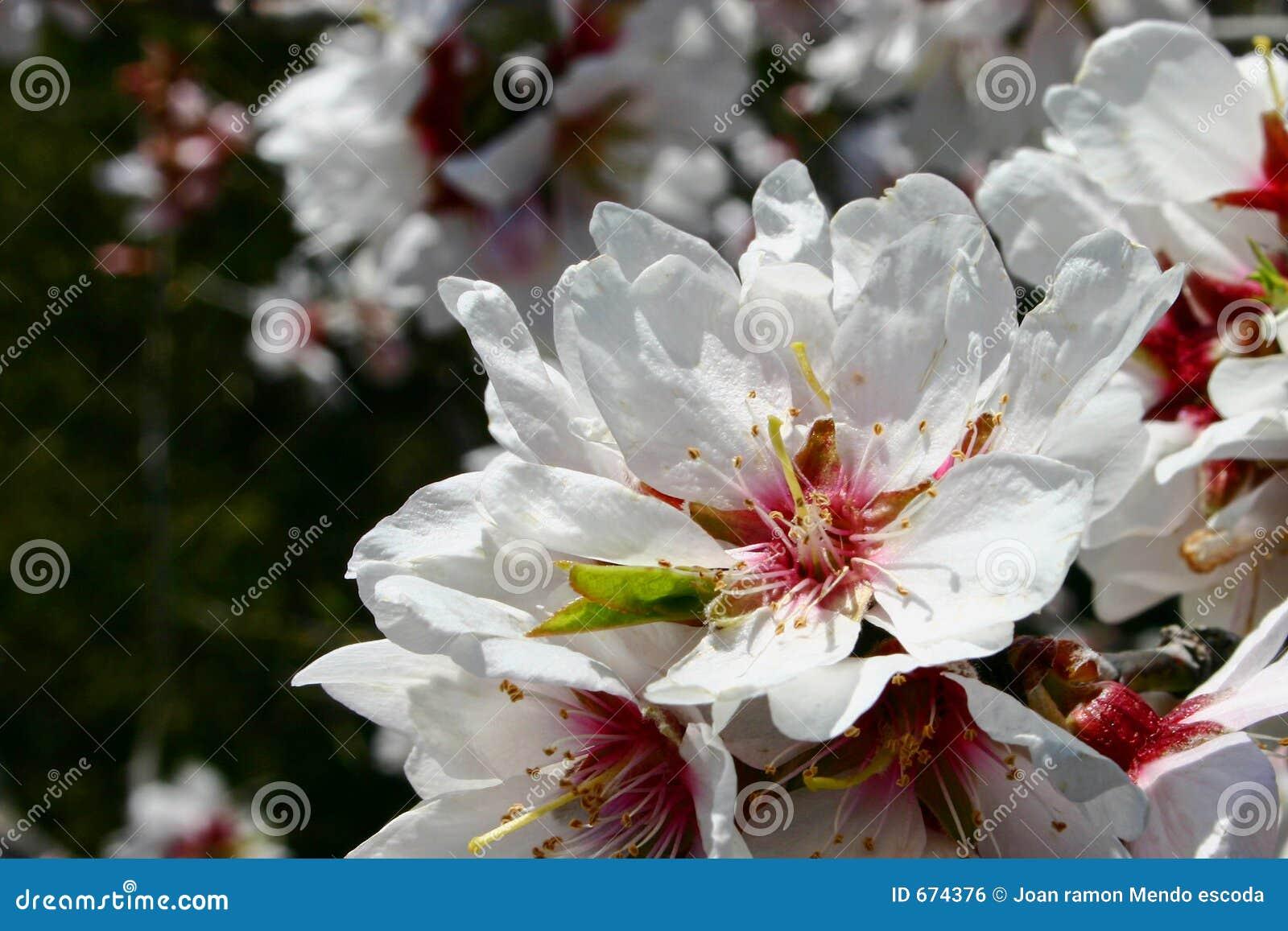 De bloem van de amandel