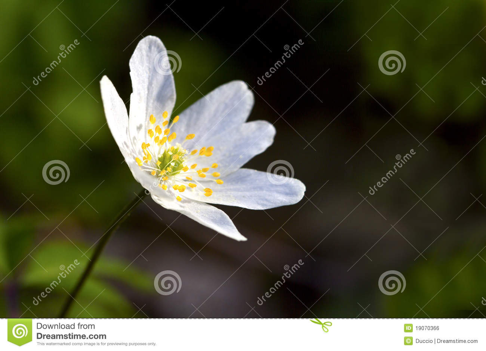 De bloem van de anemoon