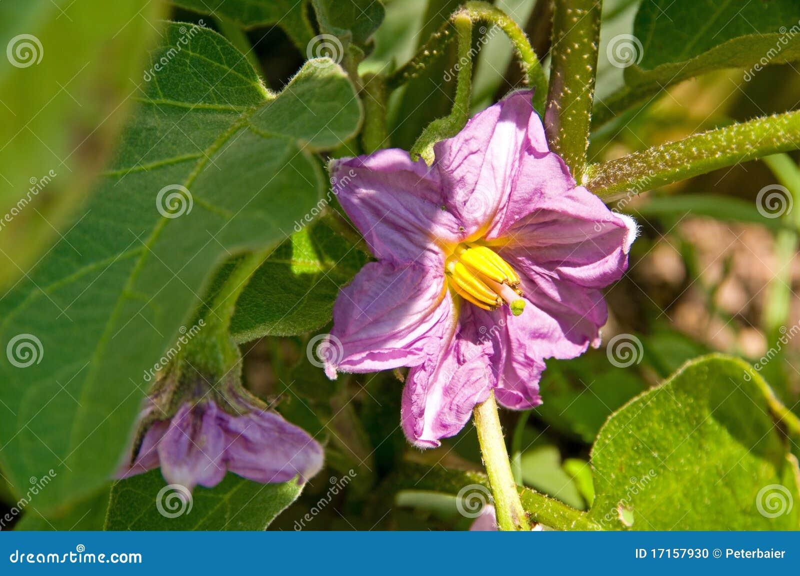 De Bloem van de aubergine