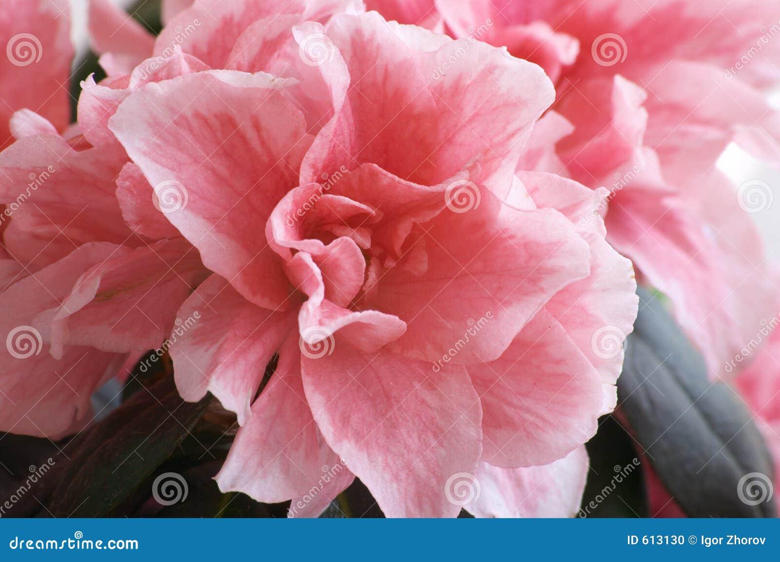 De bloem van de azalea