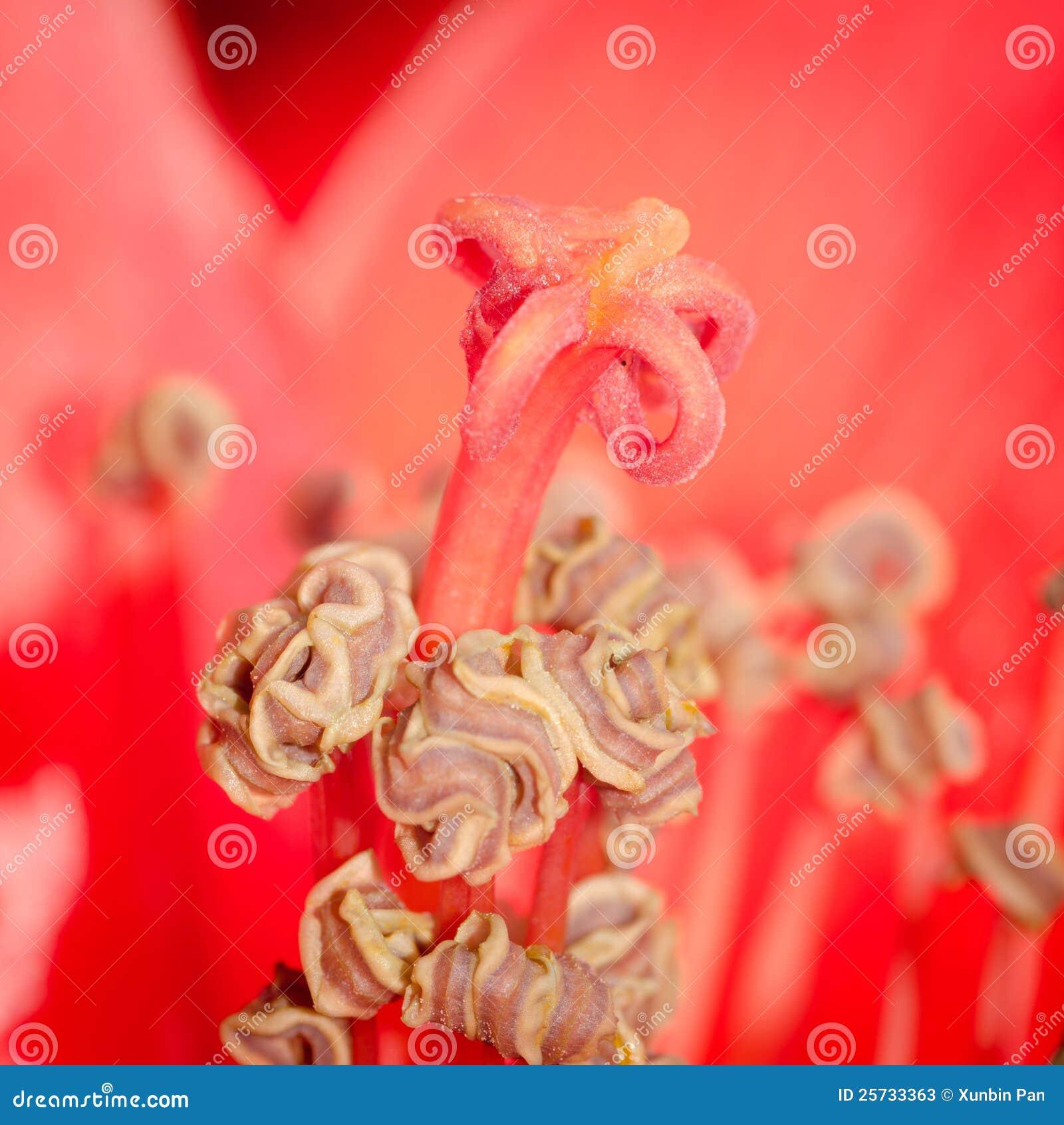 De bloem van de bloesem bombax ceiba van de kapok