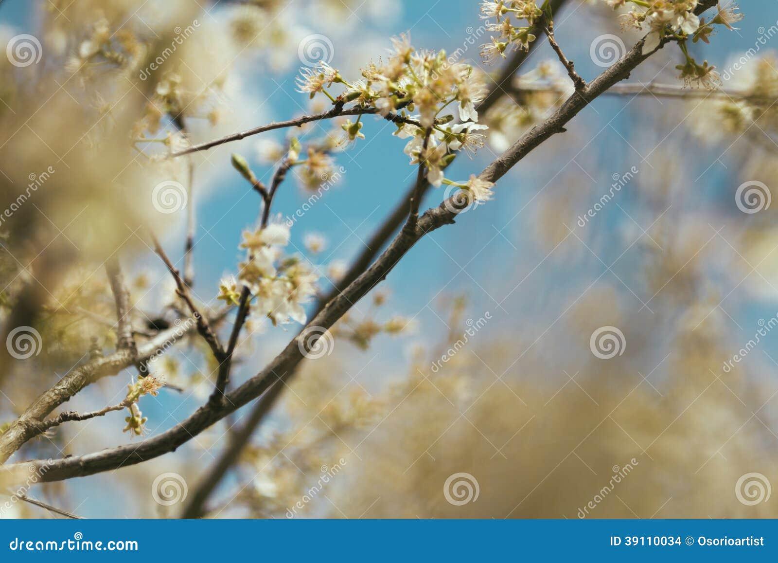 De bloem van de de lenteboom en blauwe achtergrond