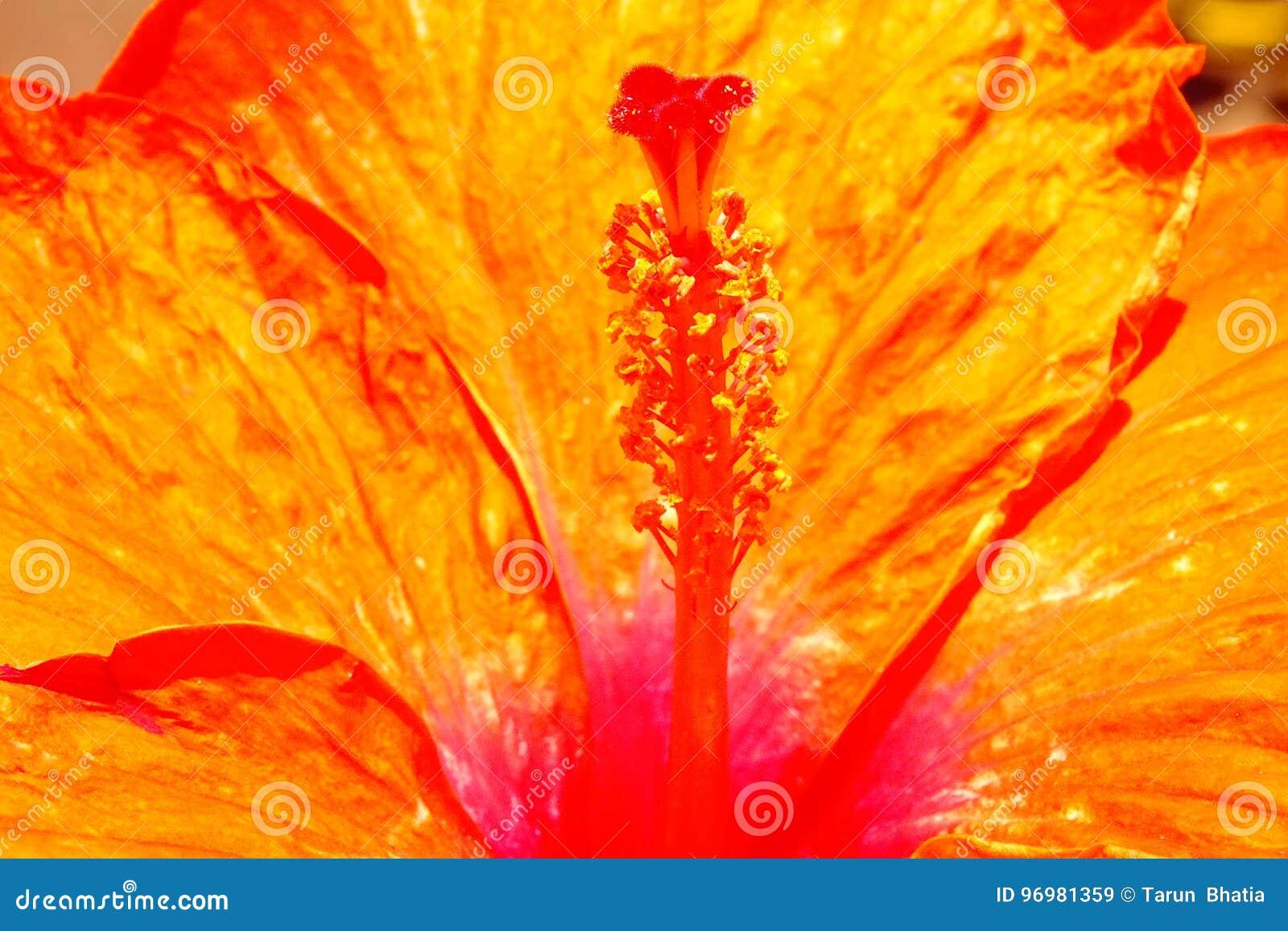 De bloem van de hibiscus