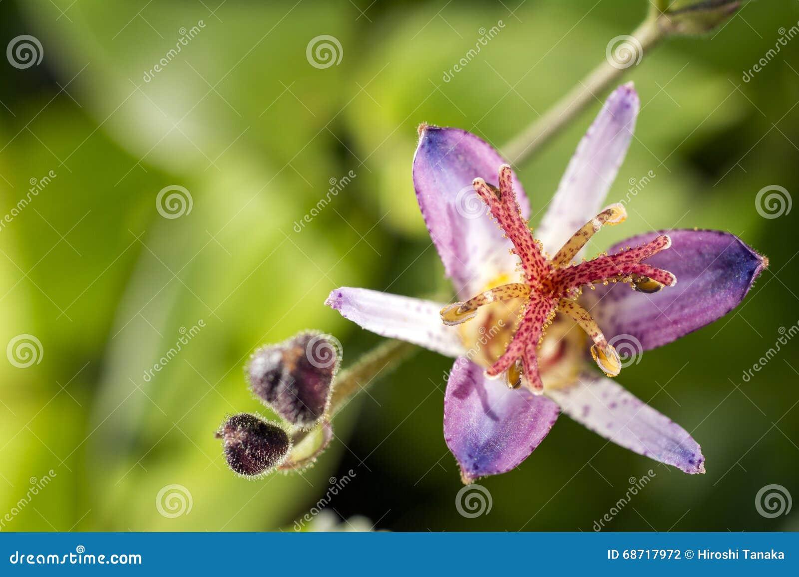 De bloem van de padlelie