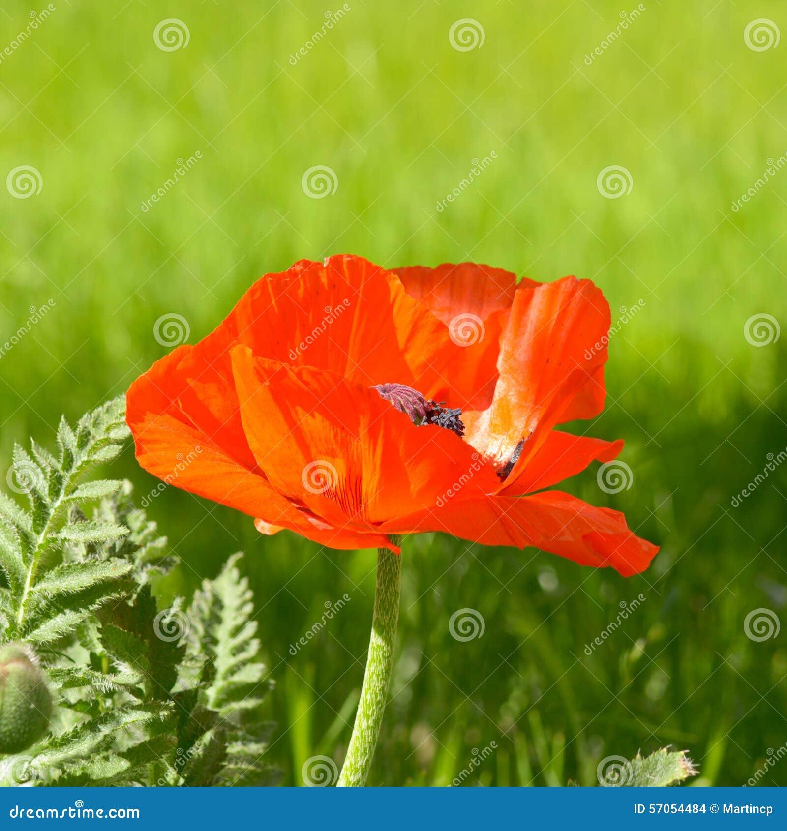 De bloem van de papaver