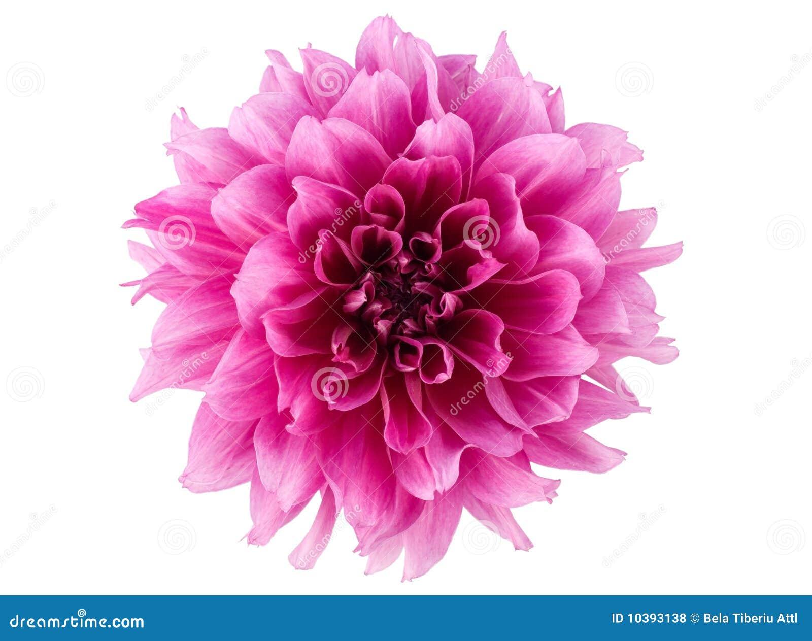 De bloem van de pioen