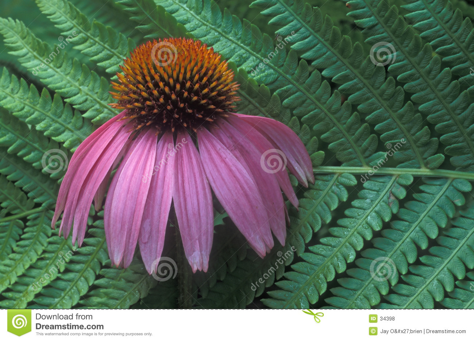 De bloem van de varen & van de kegel