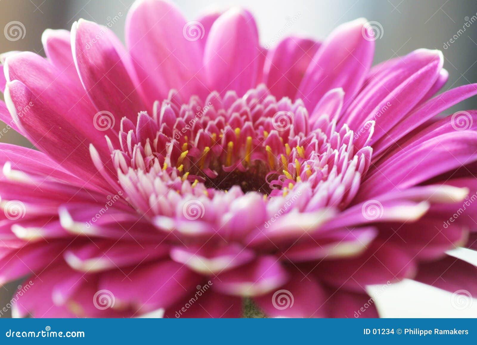 De bloem van Gerbera