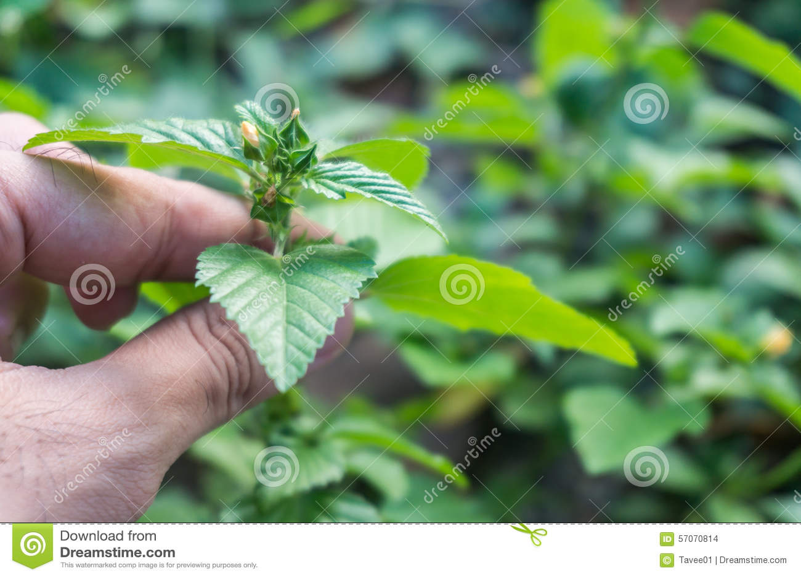 De bloem van het greepgras