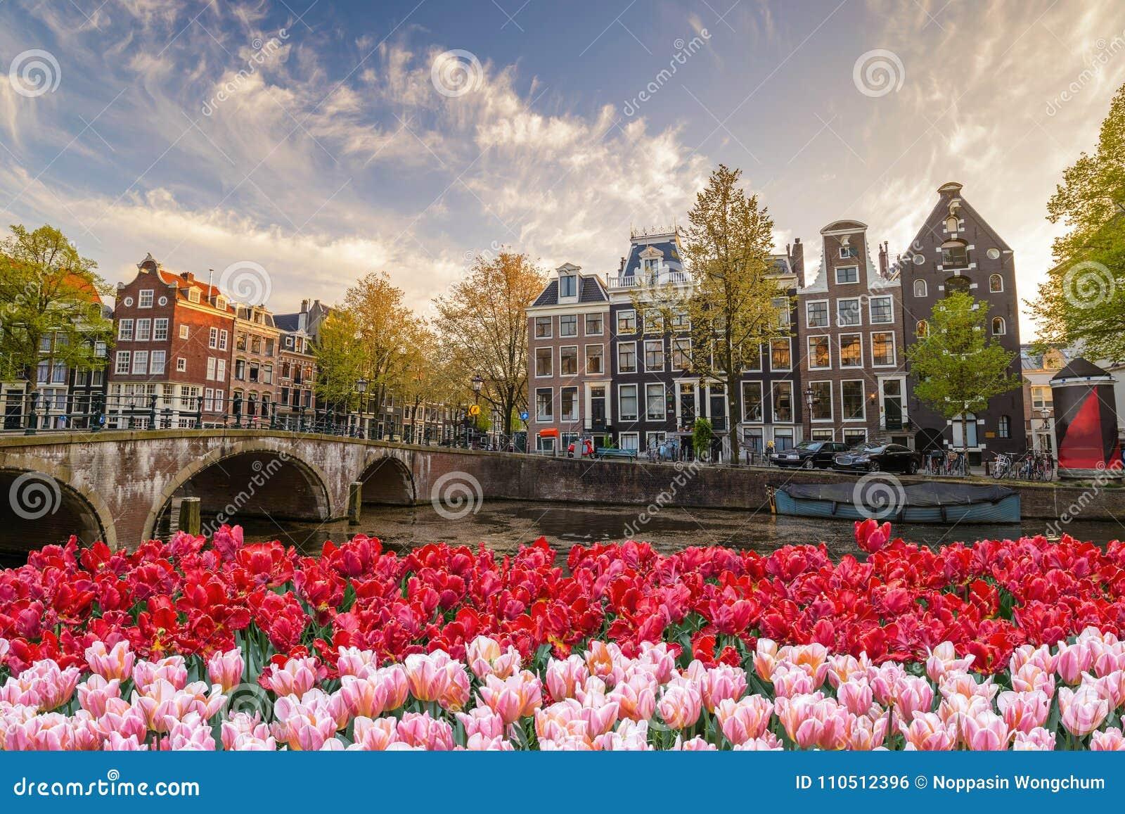 De bloem van de de lentetulp van Amsterdam, Nederland