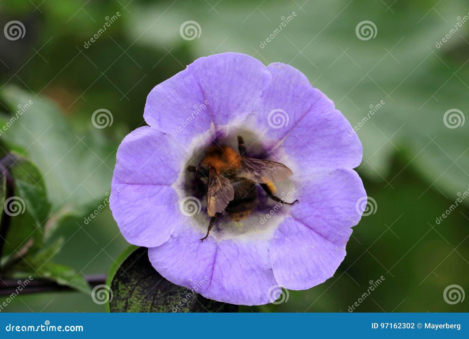 De bloem van Nolanasialia met een hommel