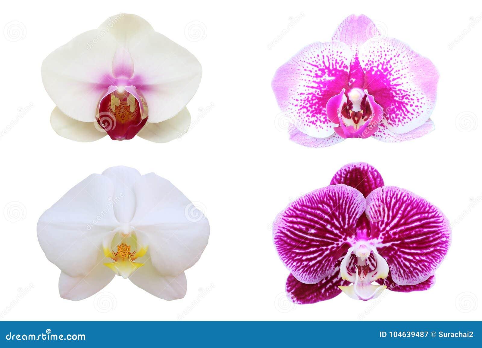 Download De Bloem Van De Orchidee Die Op Wit Wordt Geïsoleerd Stock Afbeelding - Afbeelding bestaande uit tuin, helder: 104639487