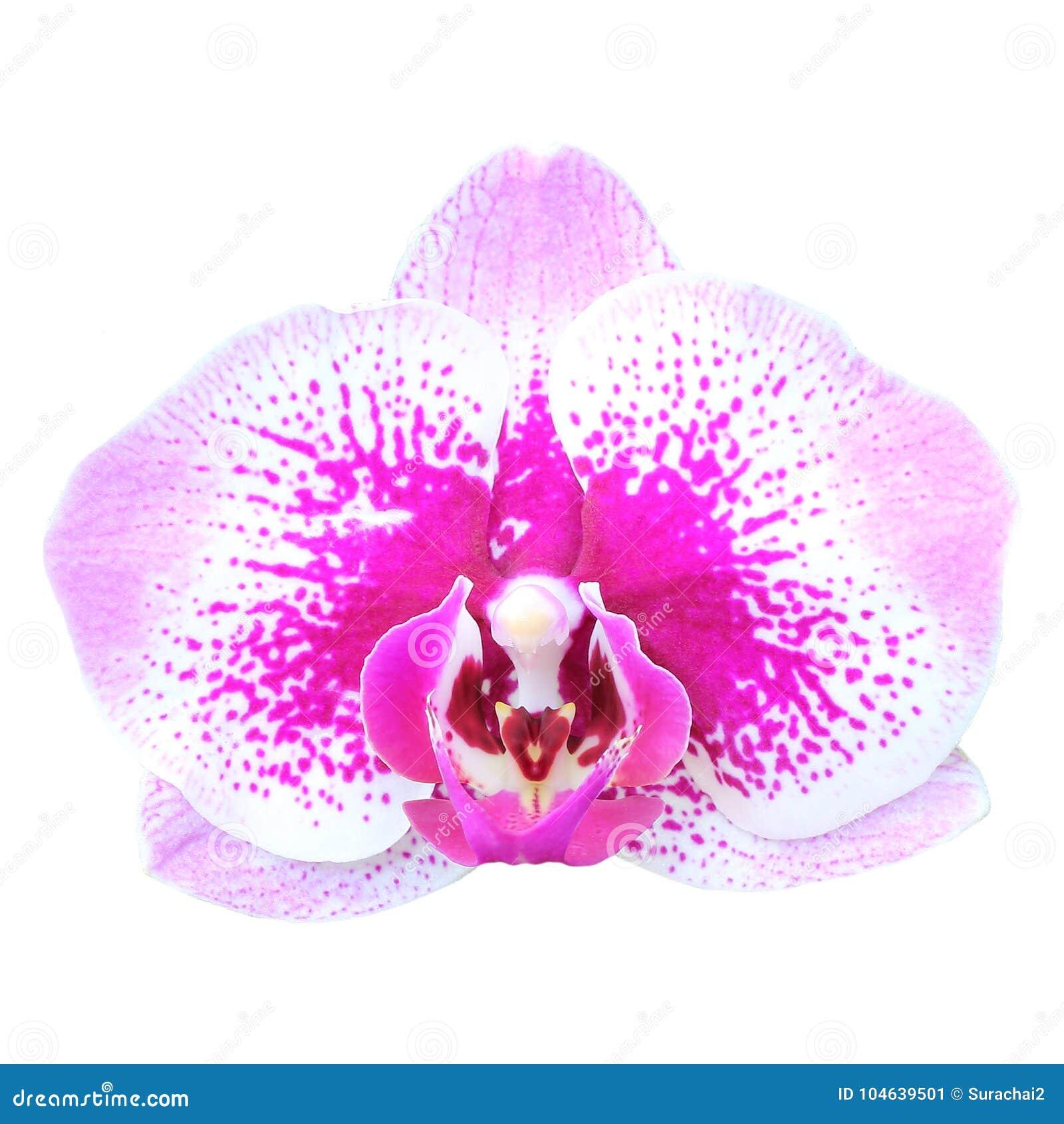 Download De Bloem Van De Orchidee Die Op Wit Wordt Geïsoleerd Stock Afbeelding - Afbeelding bestaande uit installatie, tropisch: 104639501