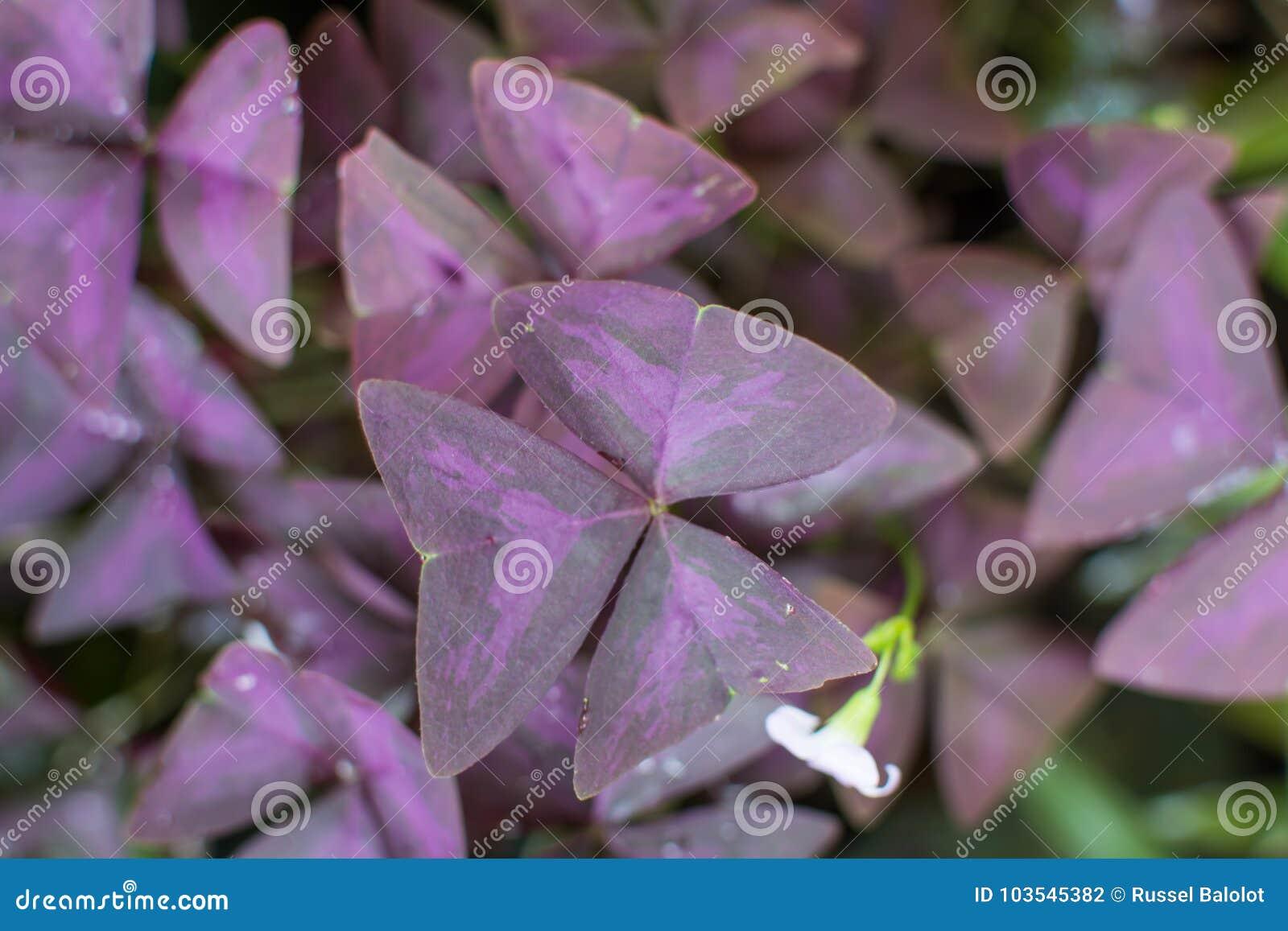 De bloem van Oxalistriangularis
