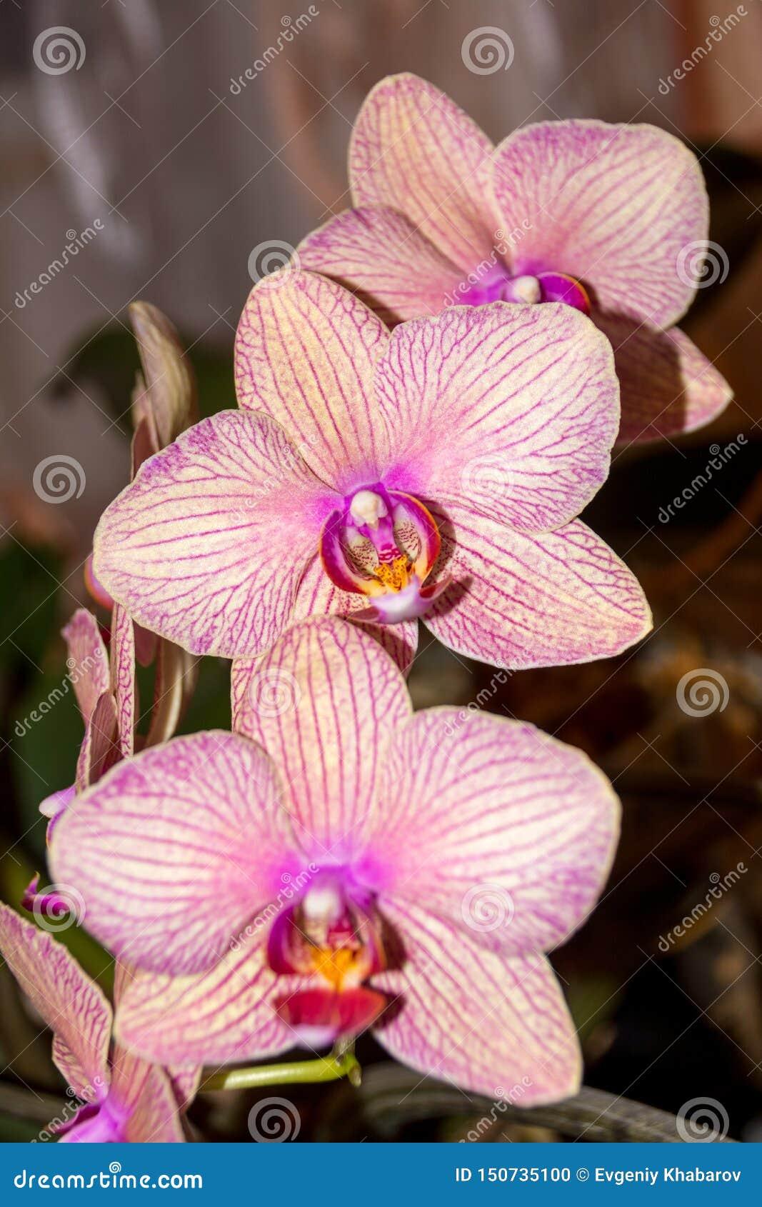 De bloem van de Phalaenopsisorchidee