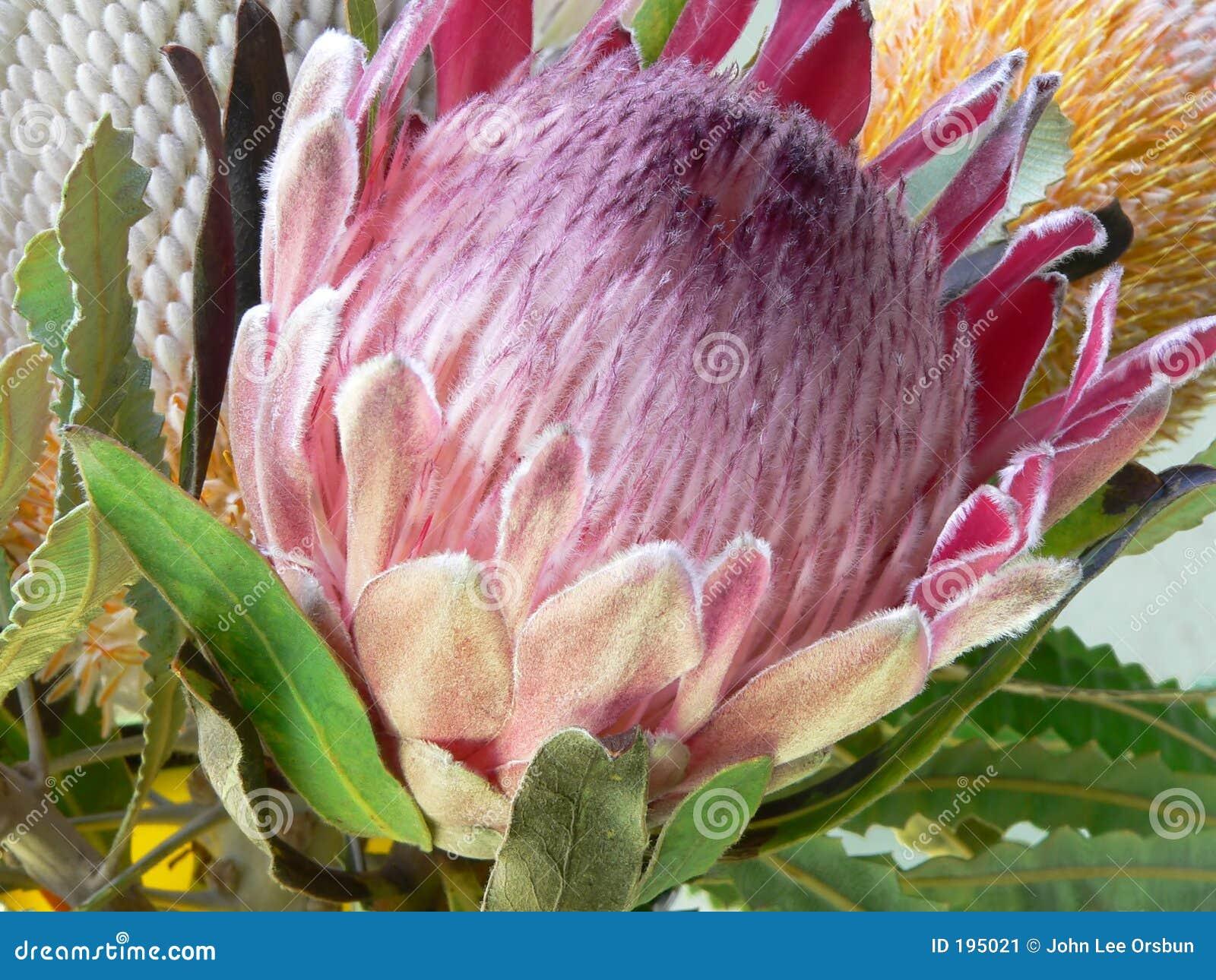 De bloem van Protea, aka Protea Eximia