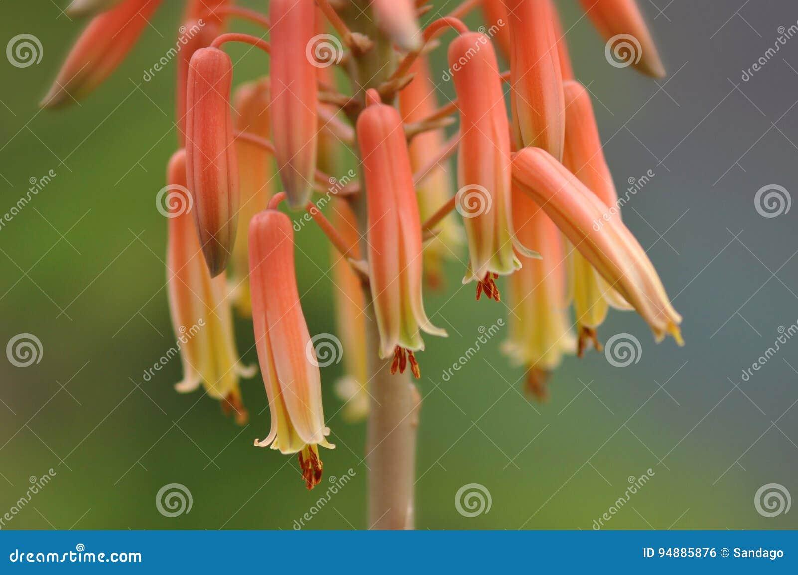 De bloem van Vera van het aloë