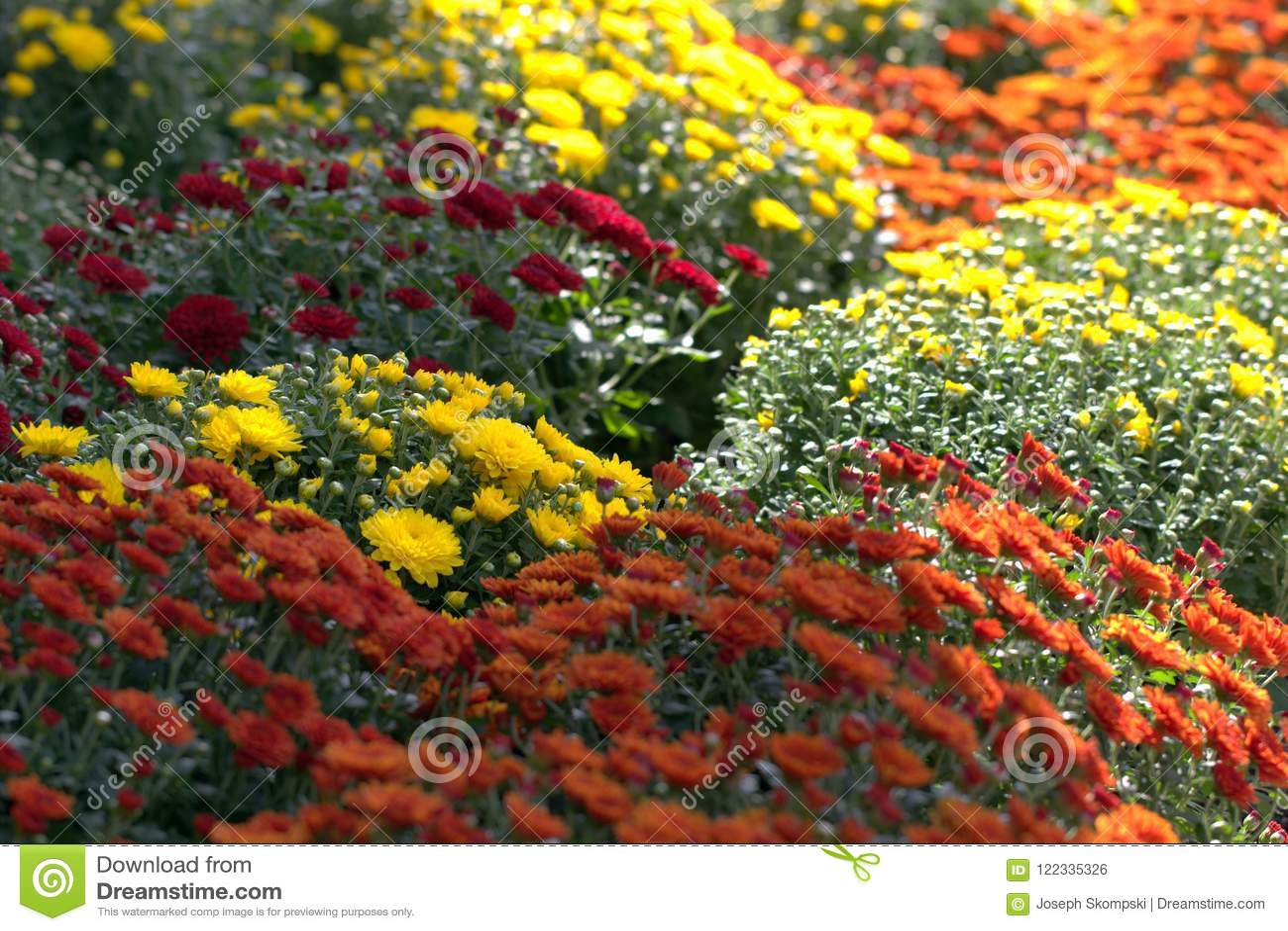 De bloemen van de chrysant