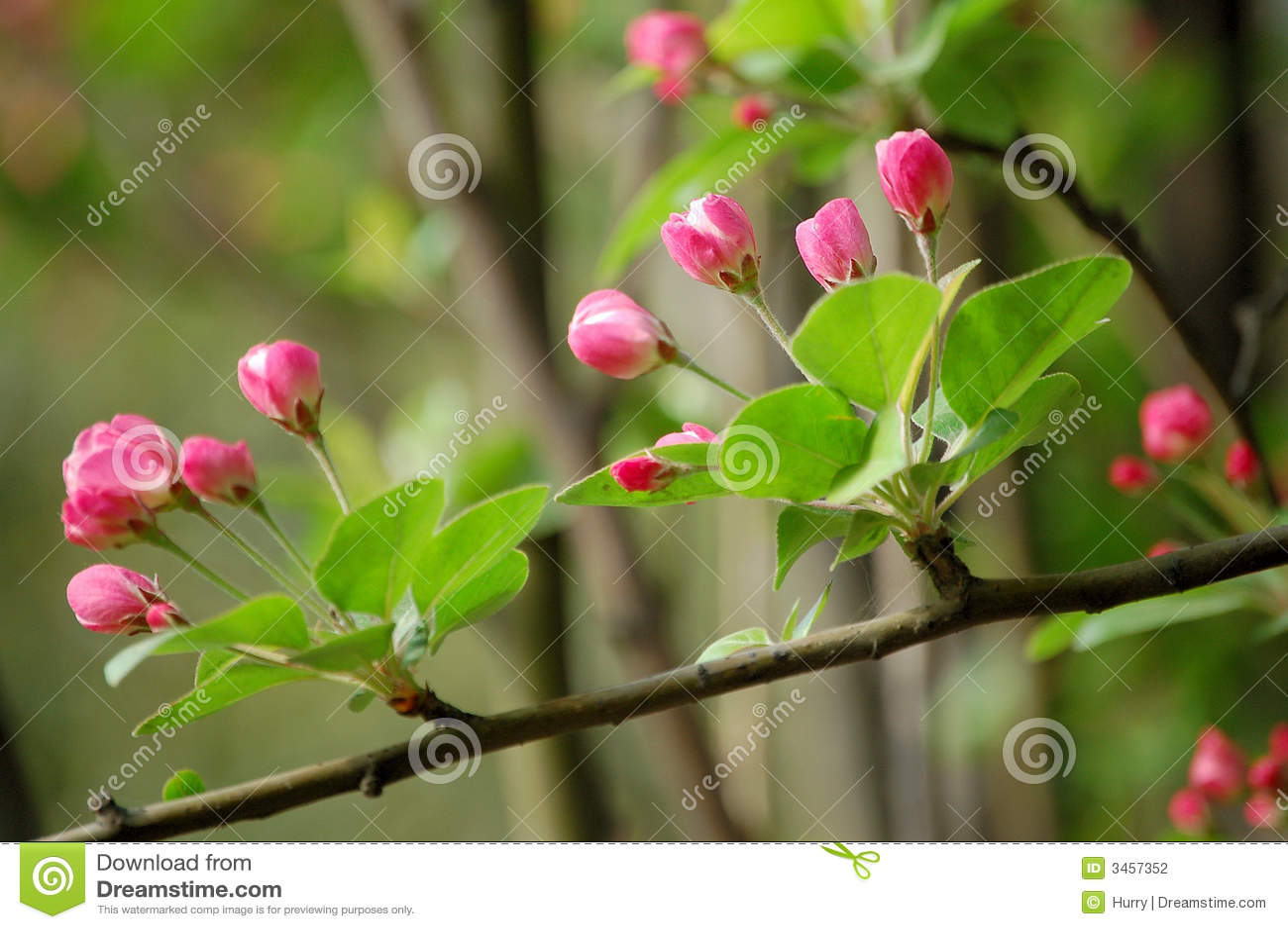 De bloemen van Crabapple