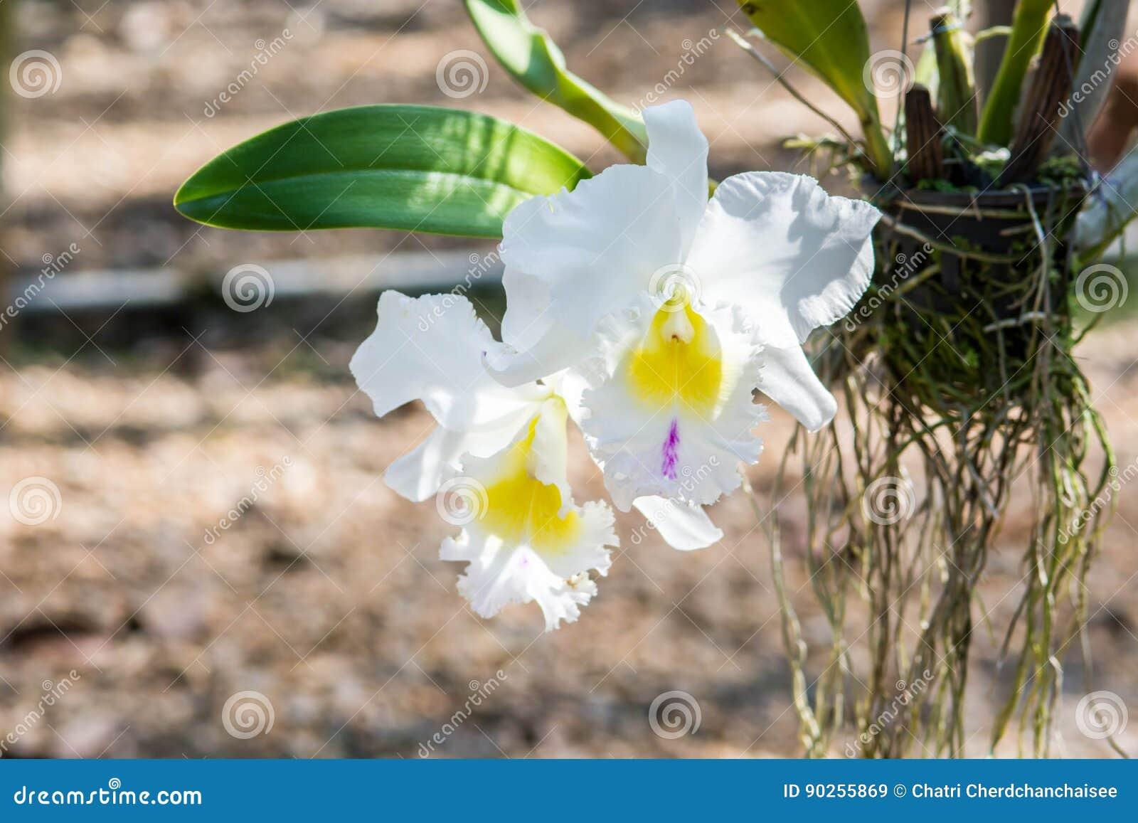 De bloemen van de Catalyyaorchidee in tuin