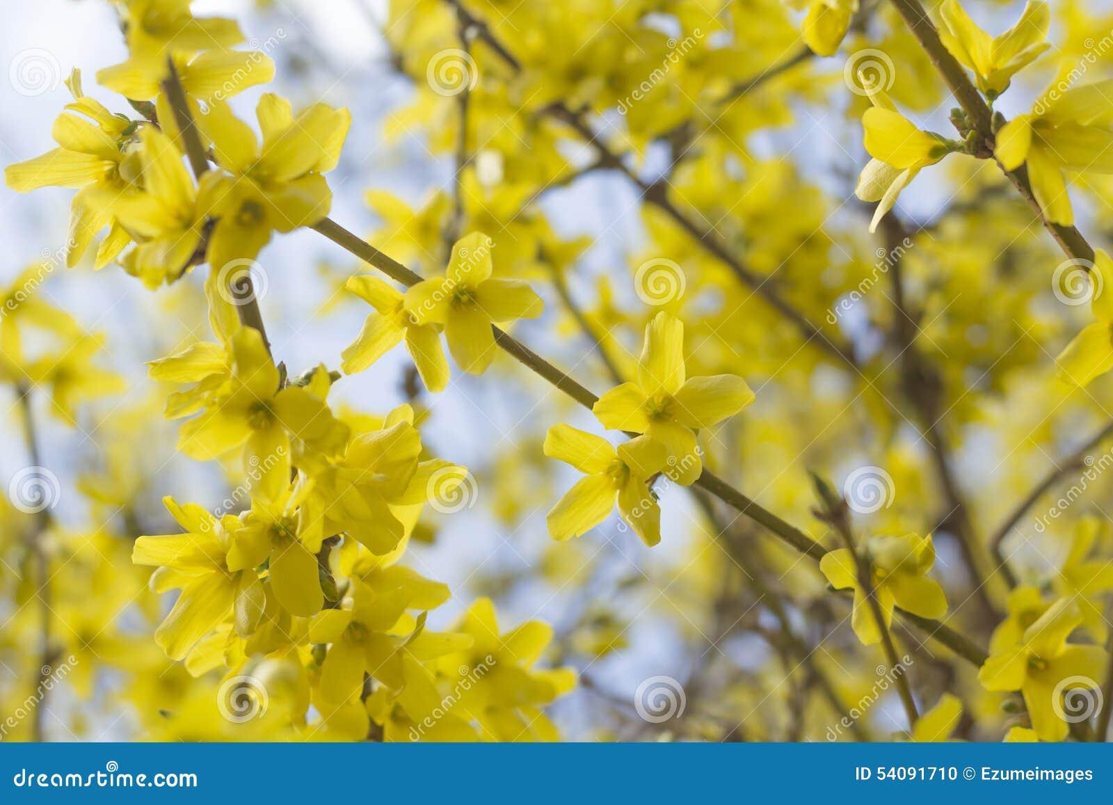 De Bloemen van de close-upforsythia