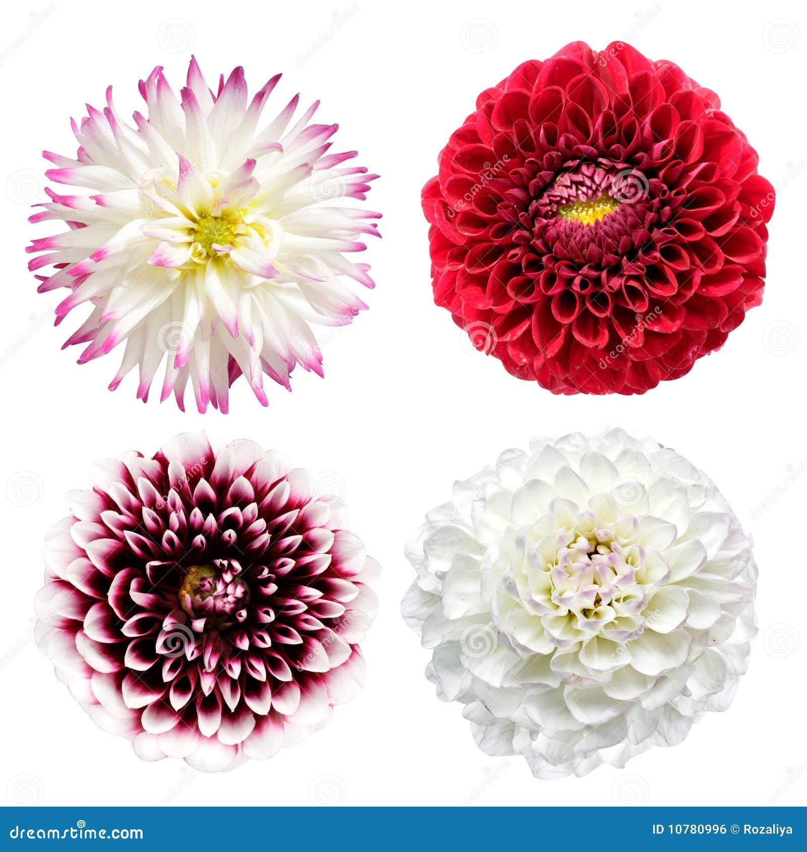 De bloemen van de dahlia