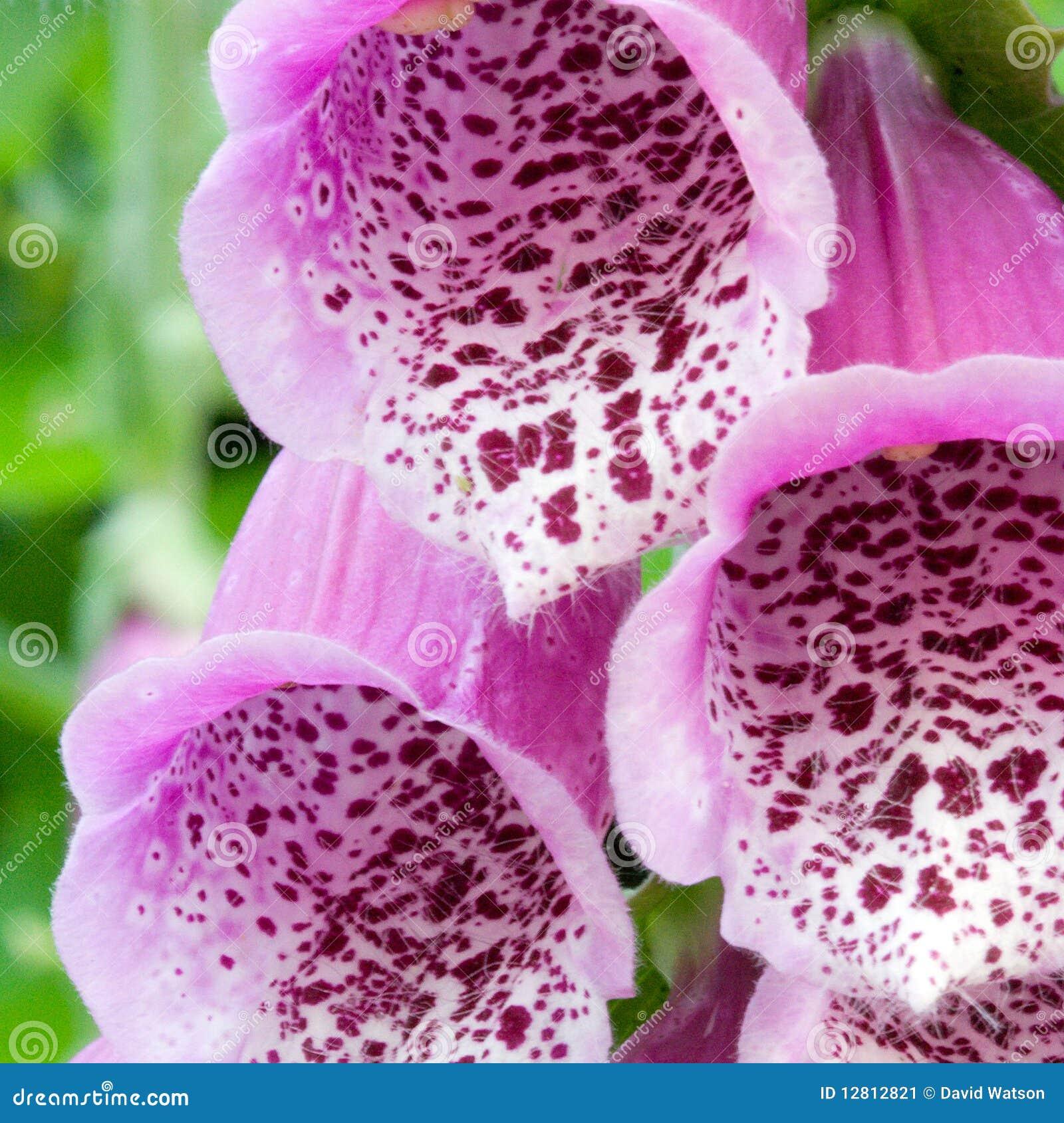 De bloemen van de digitalis