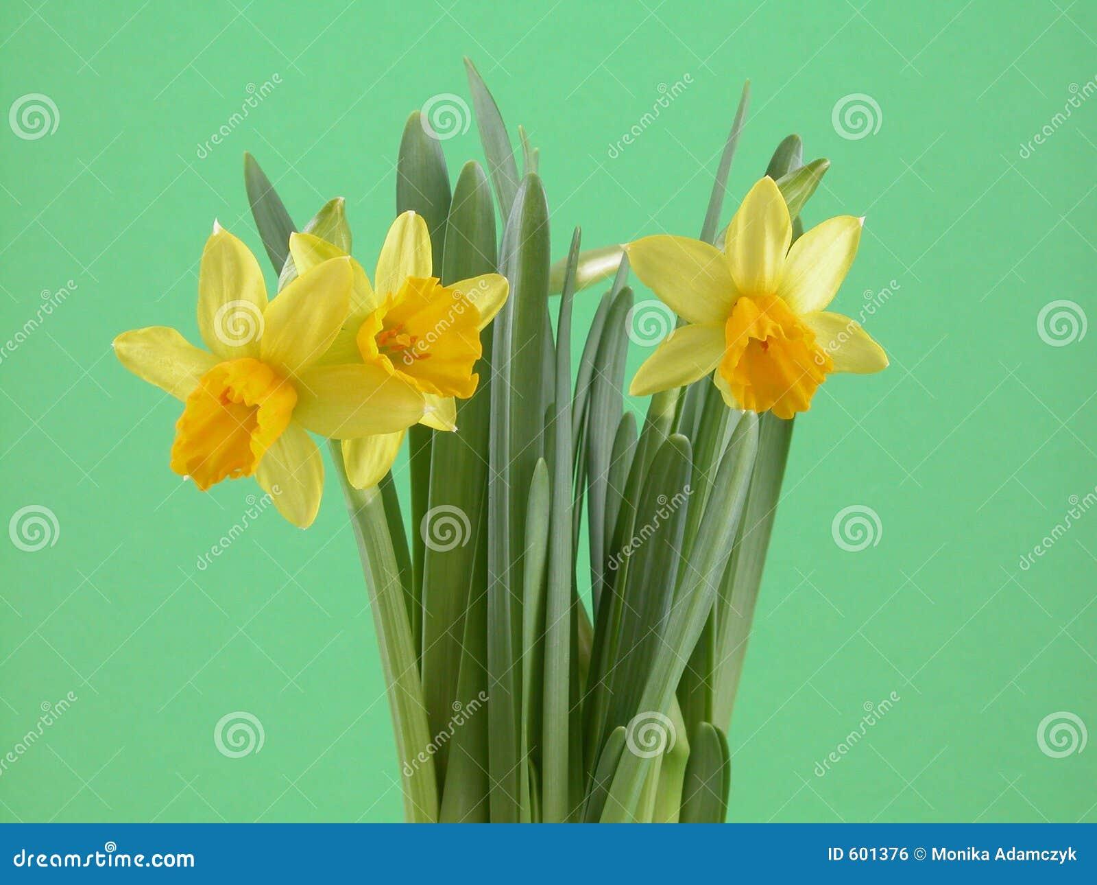 De bloemen van de gele narcis