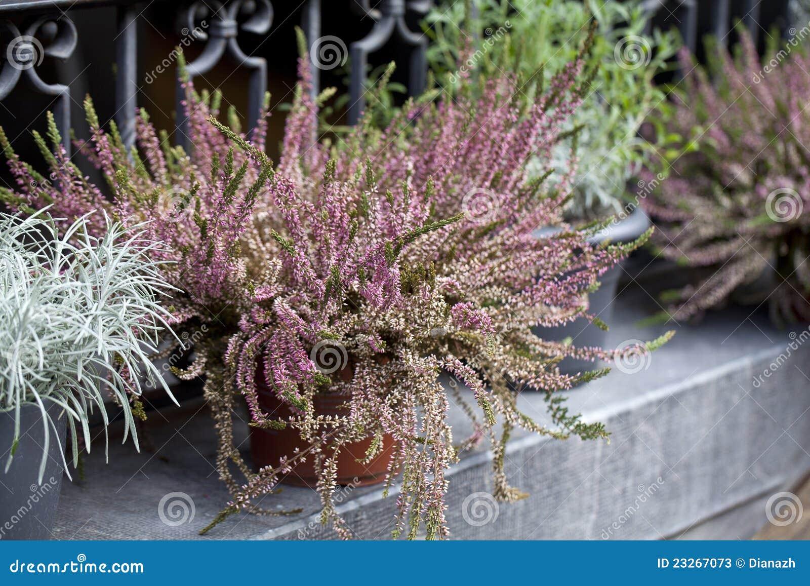 De bloemen van de heide in potten buiten stock foto's   afbeelding ...