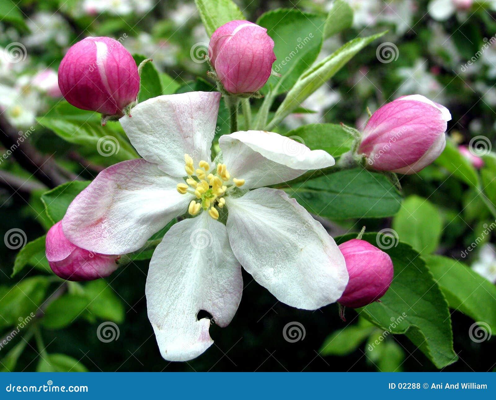 De bloemen van de kers