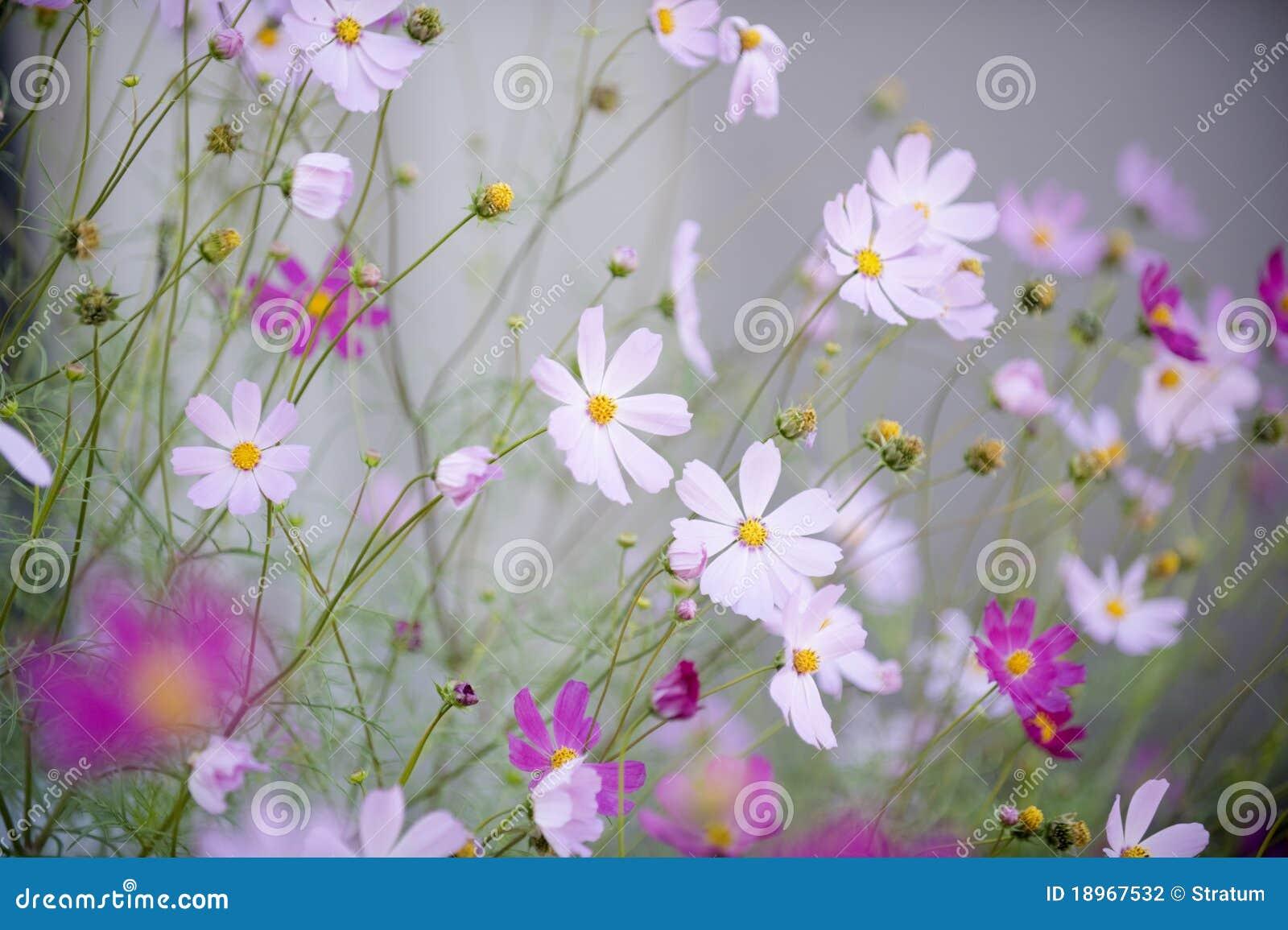 De bloemen van de kosmos