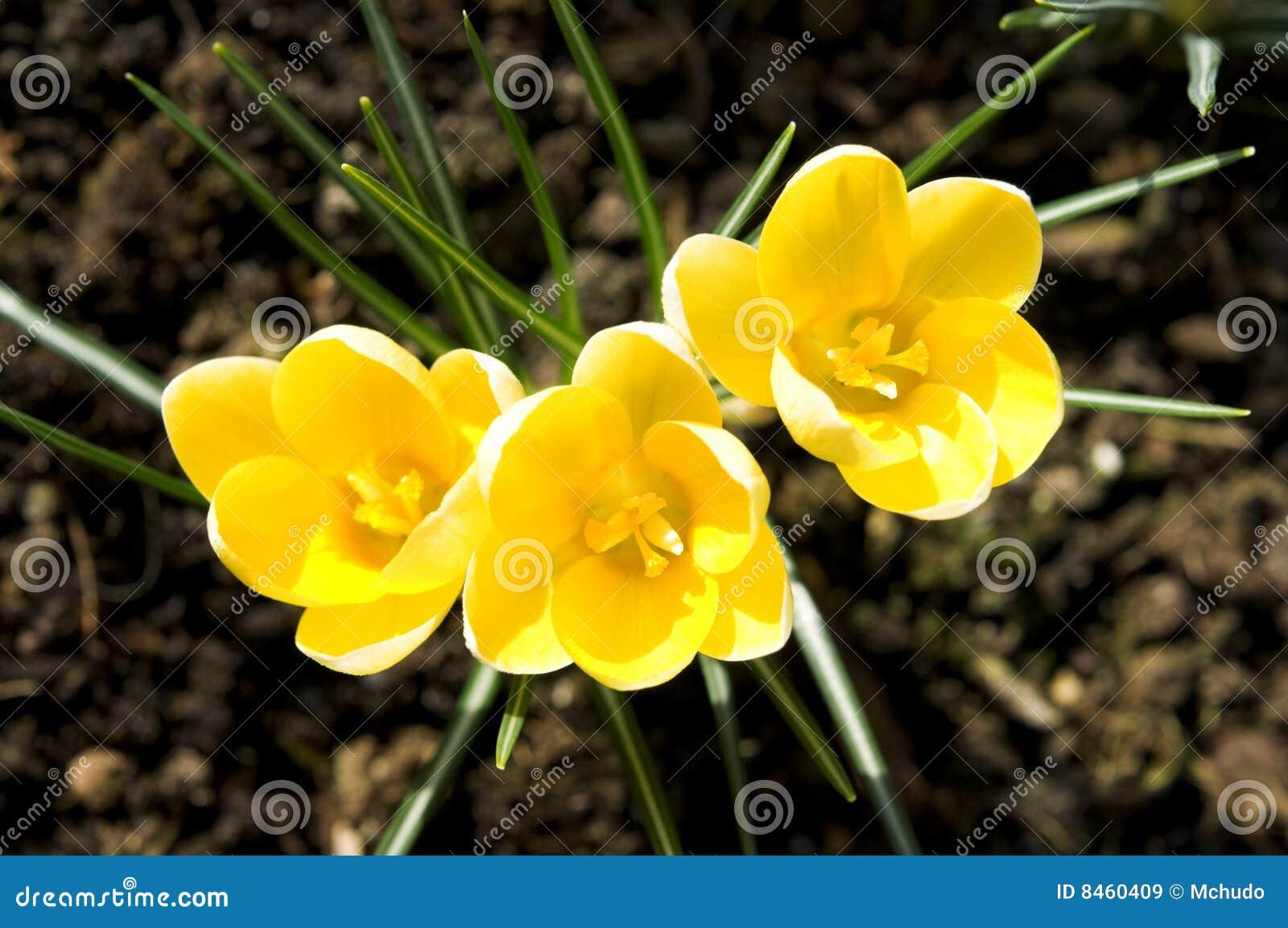 De bloemen van de krokus