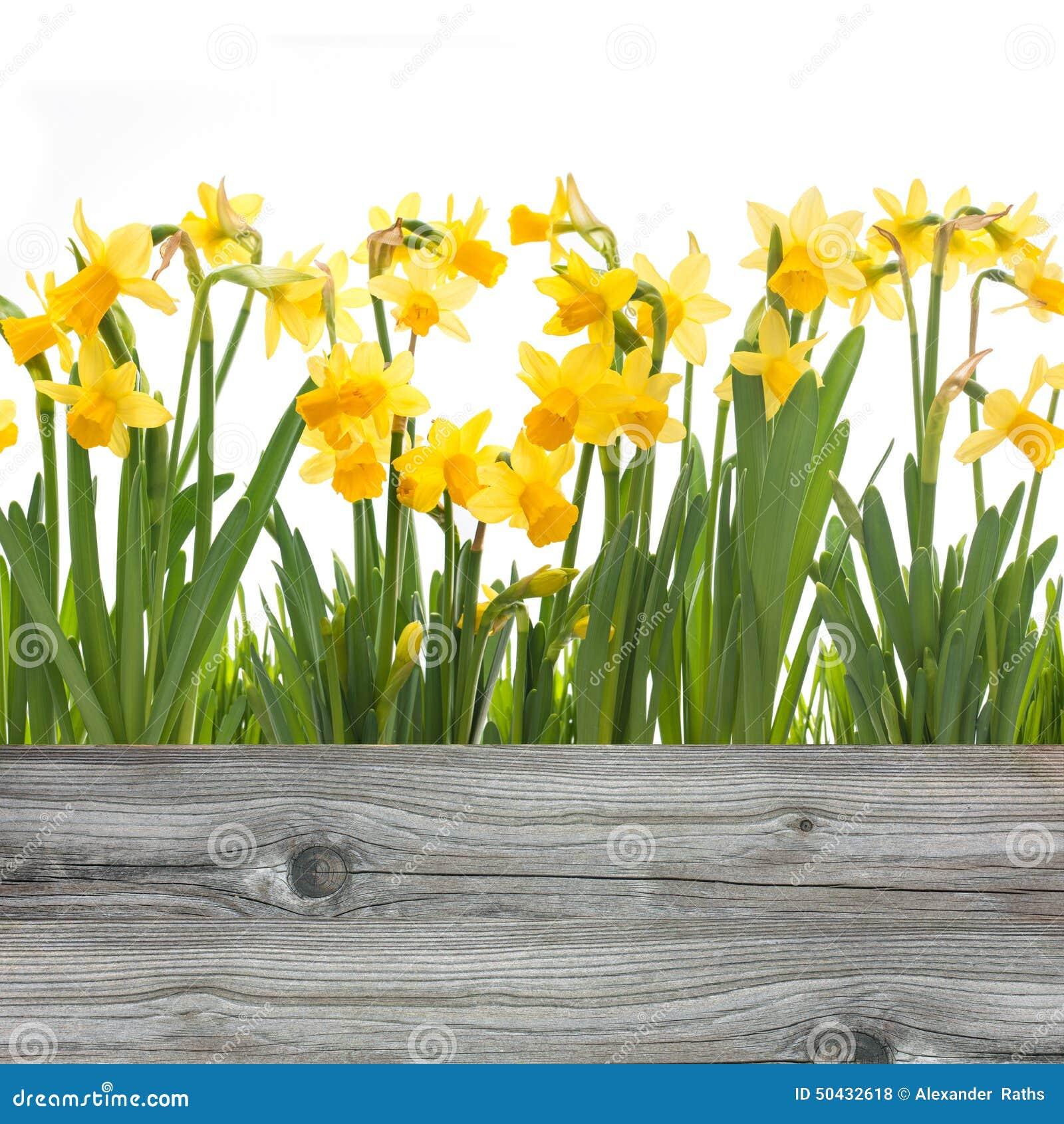 De bloemen van de lentegele narcissen