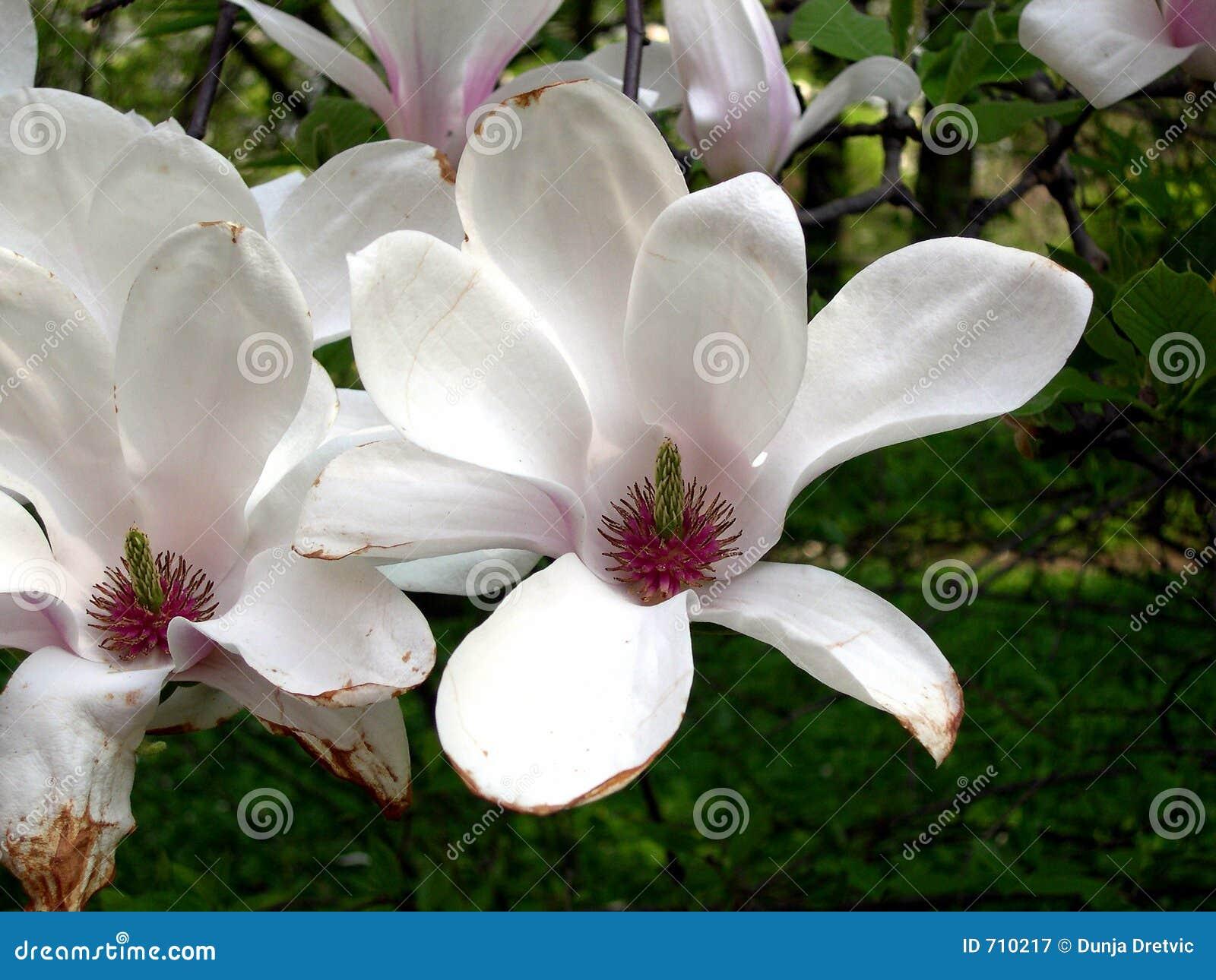 De Bloemen van de magnolia