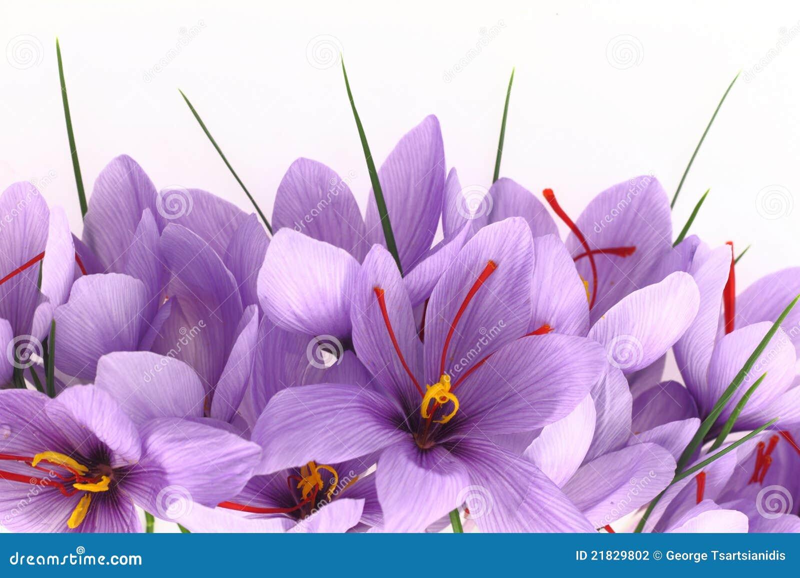 De bloemen van de saffraan