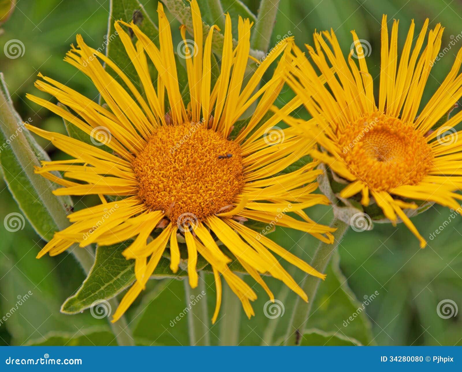 De bloemen van Inulamagnifica