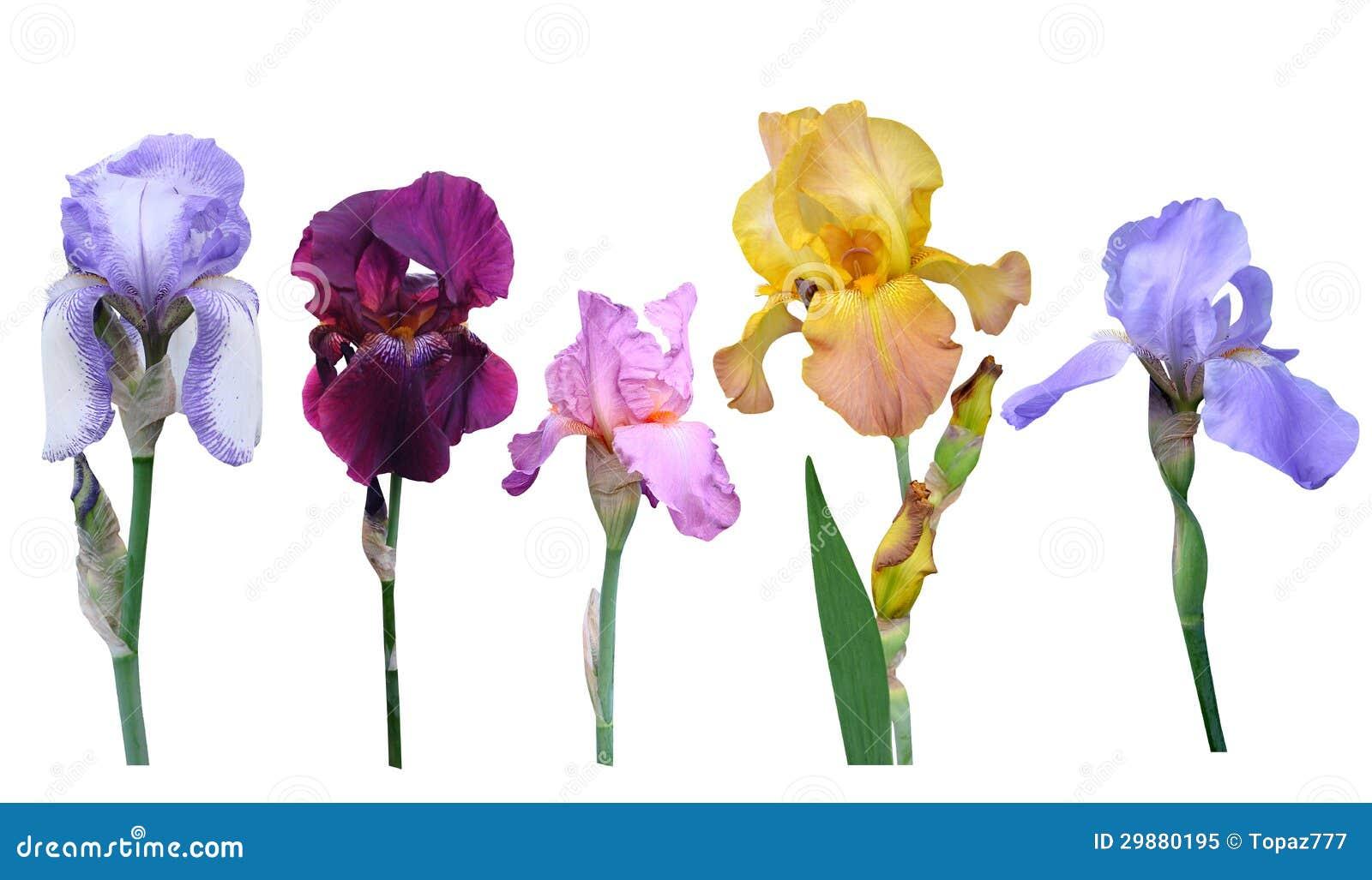 De bloemen van irissen
