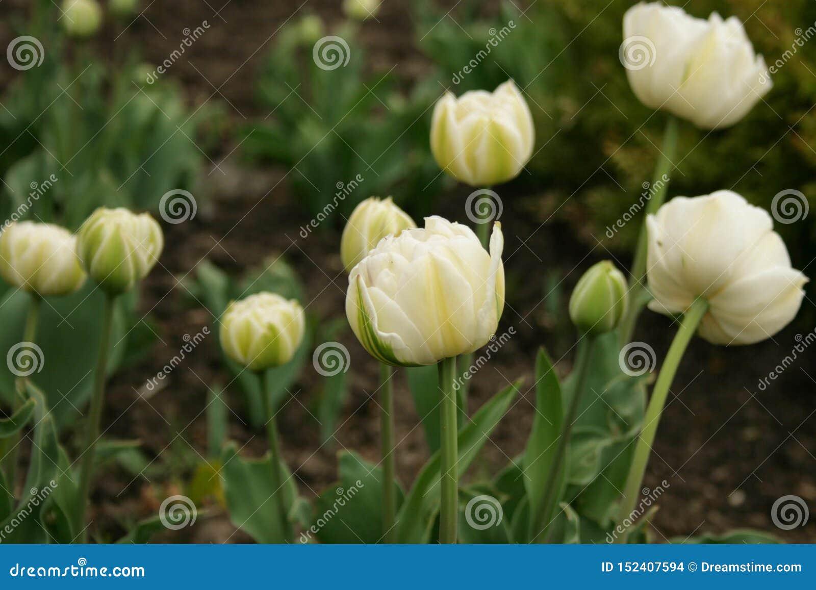 De bloemen van de lente - witte tulpen