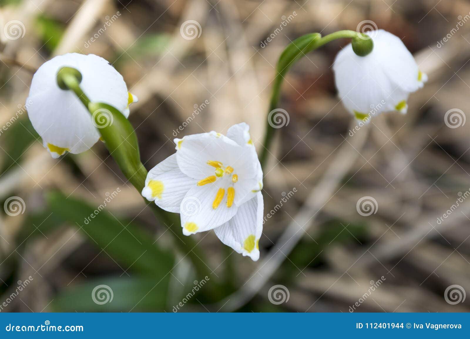 De bloemen van Leucojumvernum, vroege de lentesneeuwvlokken op de weide