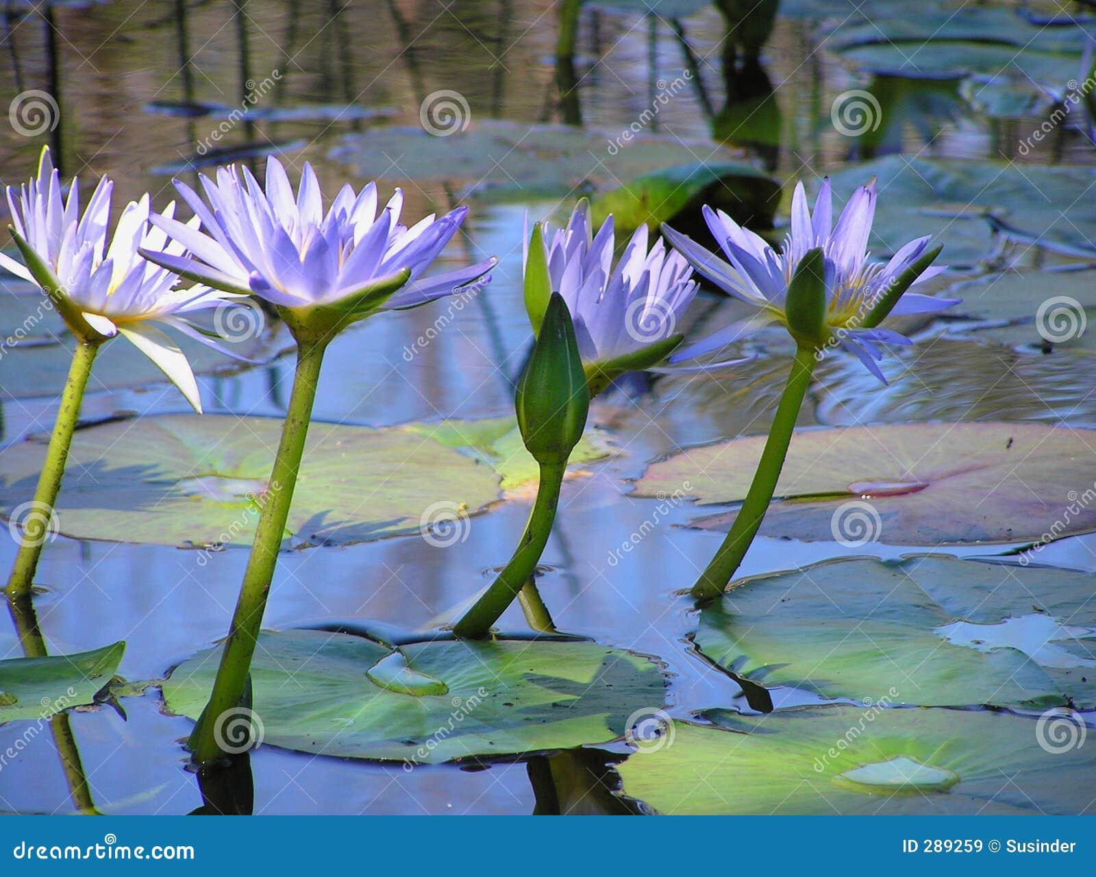 De Bloemen van Lotus