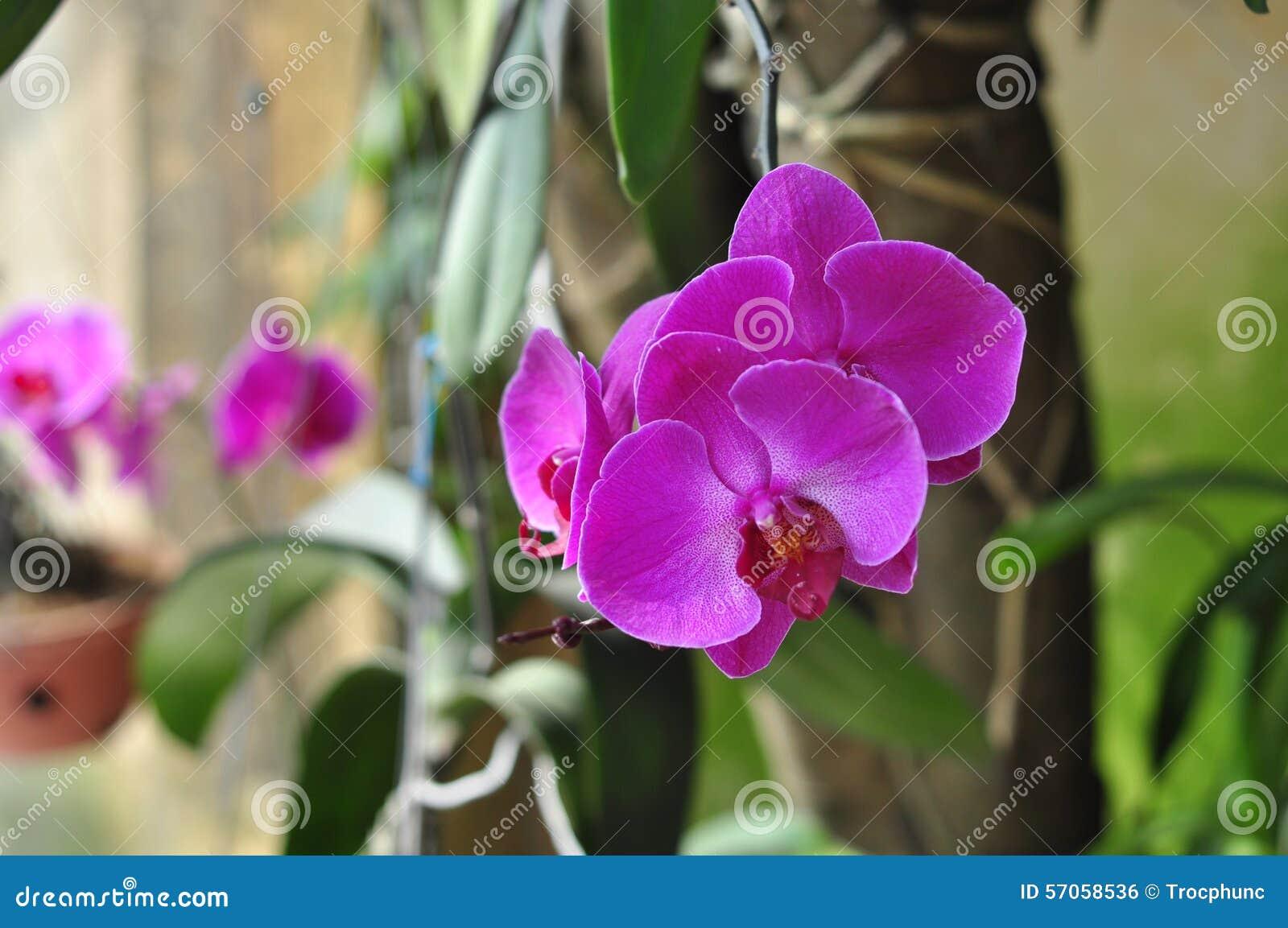 De bloemen van Phalaenopsisblume