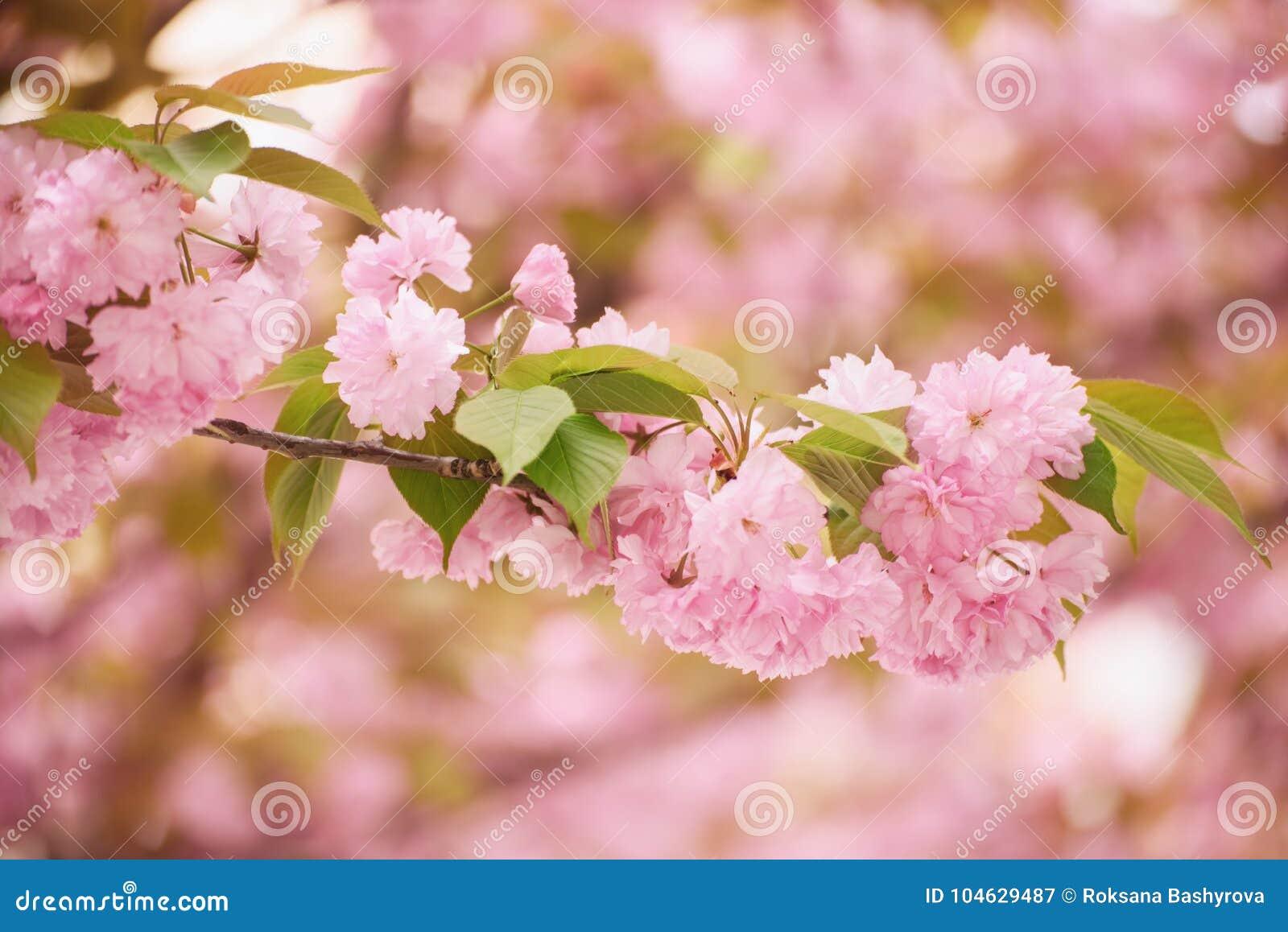 Download De Bloemen Van Sakura Het Bloeien Stock Afbeelding - Afbeelding bestaande uit flora, april: 104629487