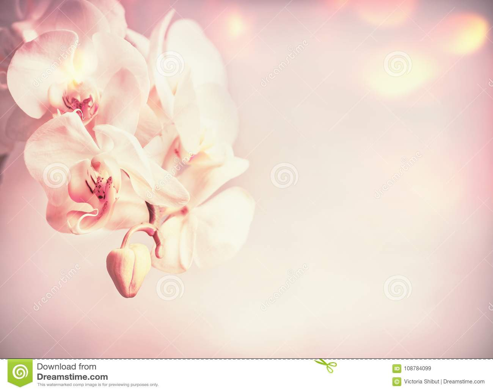 De bloemen van schoonheidsorchideeën bij roze bleke achtergrond