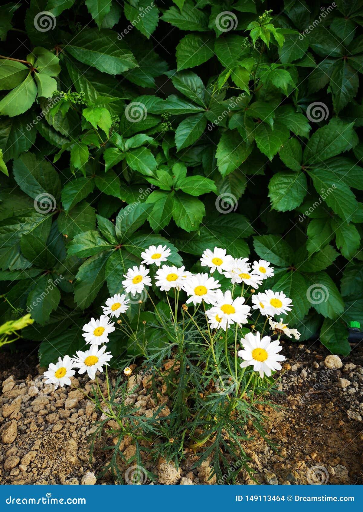 De bloemen van tuinpapatya