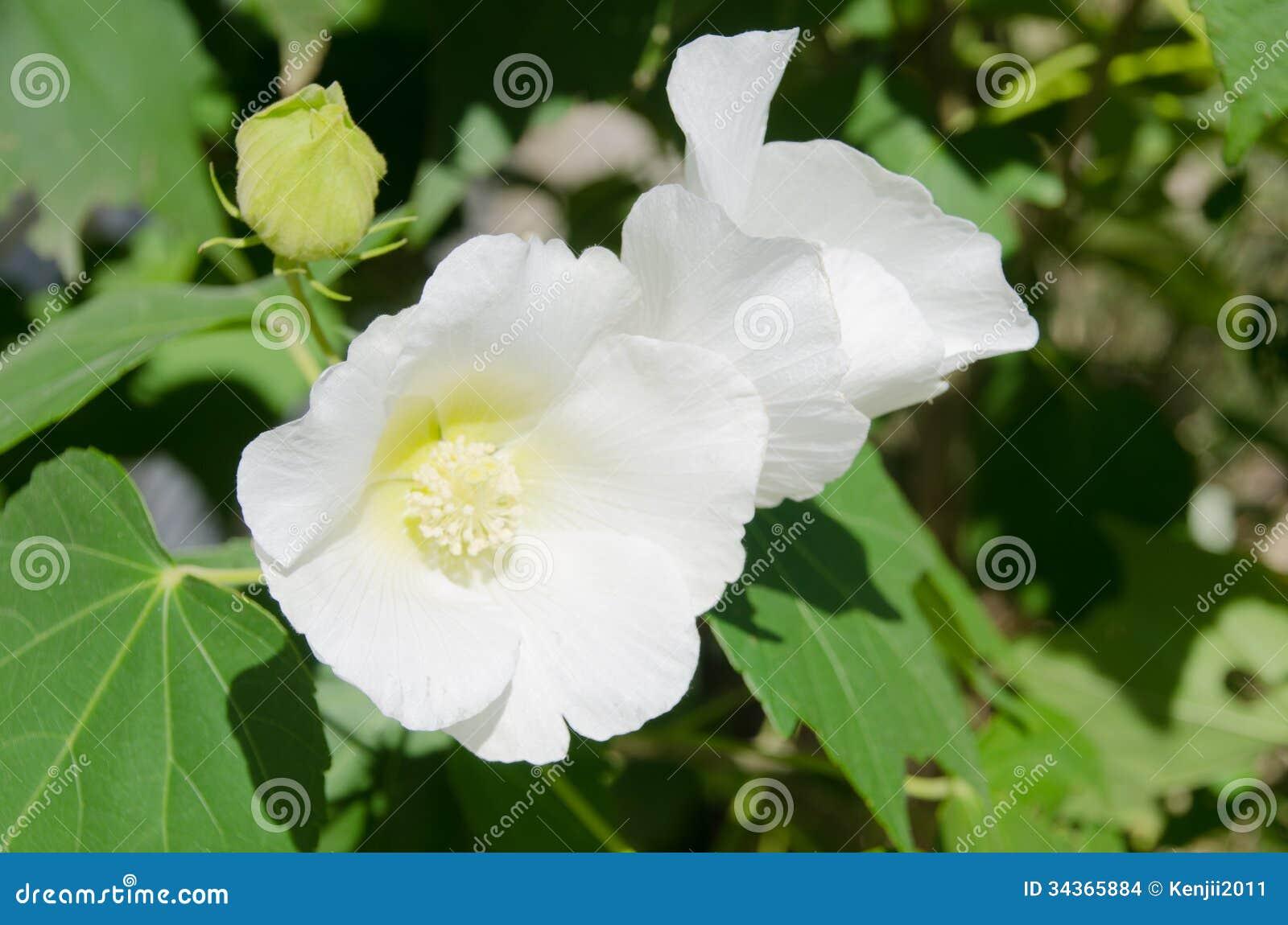 Genoeg De Bloemen Van Witte Verbonden Namen Toe Stock Foto - Afbeelding #ZY58