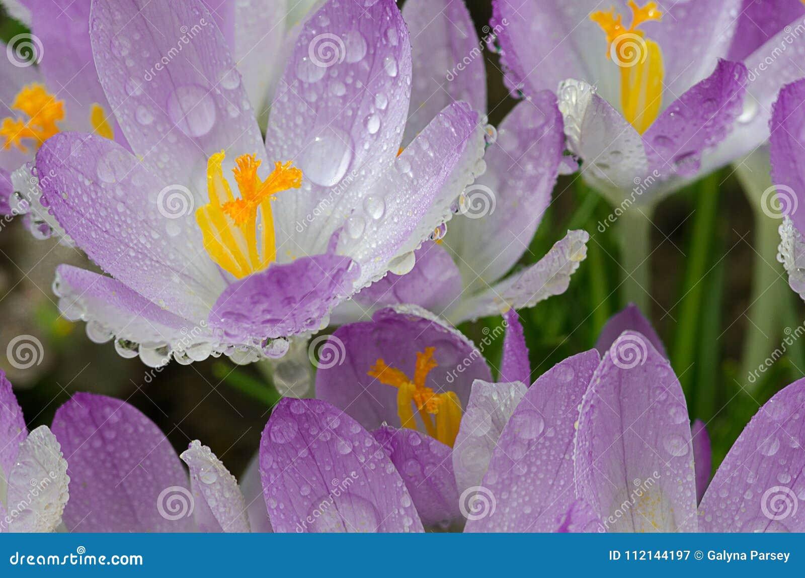 De bloemenkrokussen van de foto dichte kleine lente